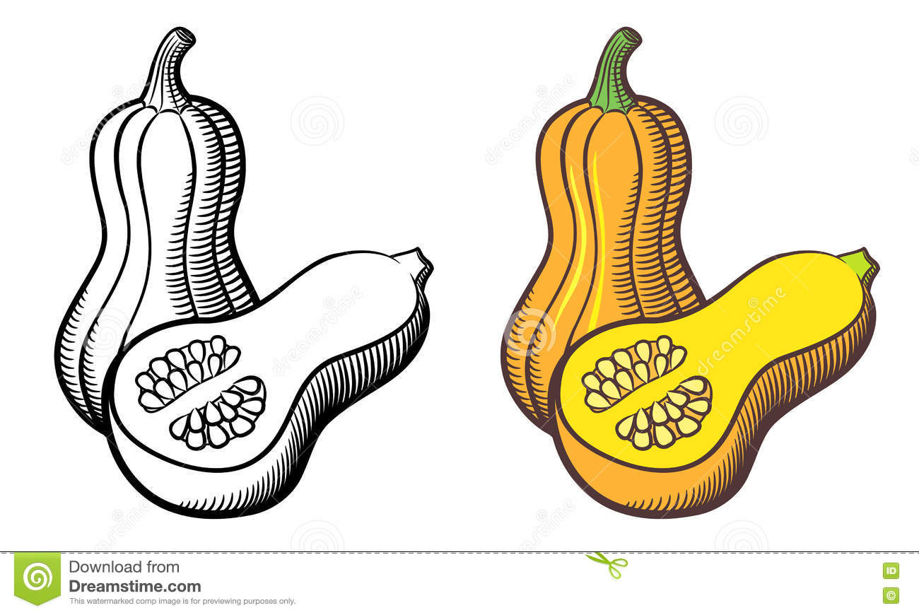 Illustration de courge de butternut illustration de vecteur illustration du botanique retrait - Courge dessin ...