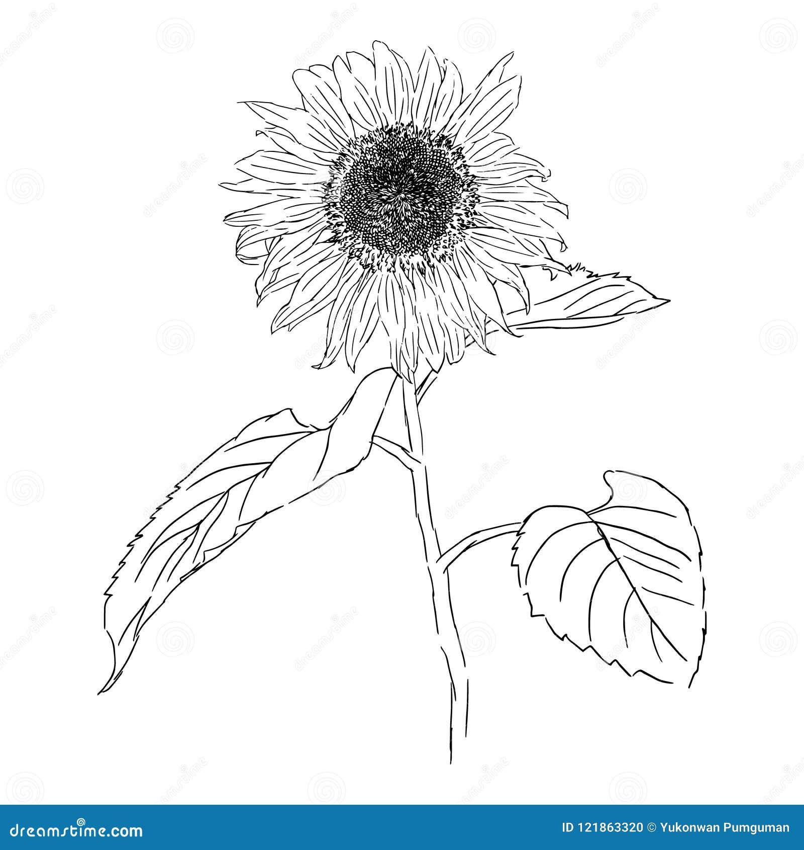 Illustration De Dessin D Isolement De Tournesol Vecteur De Fleur De