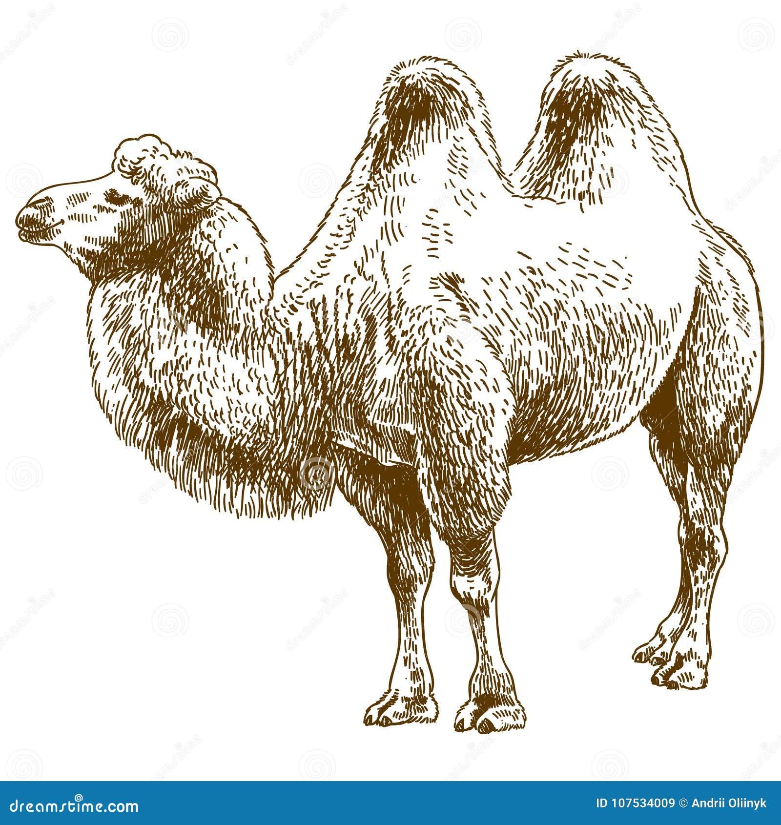 Illustration de dessin de gravure de chameau illustration - Dessin de chameau ...