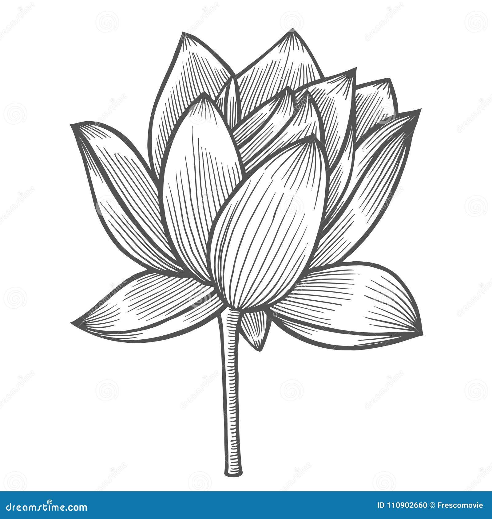Coloriage Fleur De Nenuphar.Illustration De Fleur De Nenuphar Illustration De Vecteur