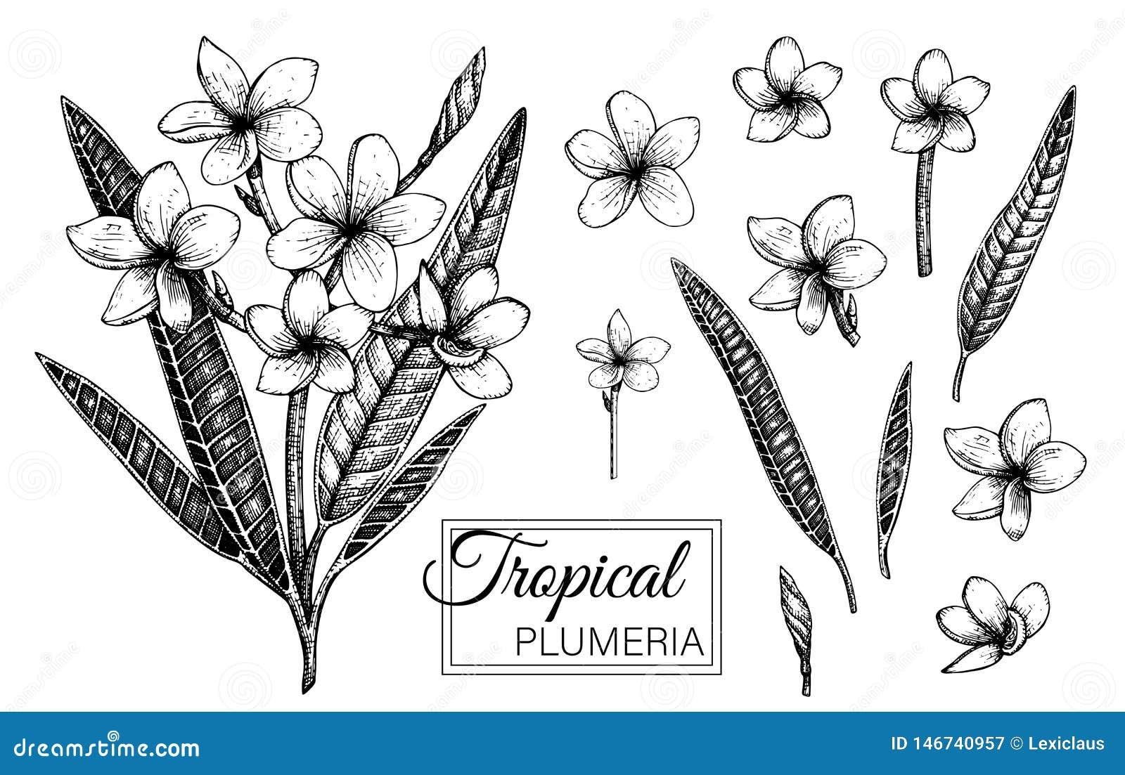 Illustration De Vecteur De Fleur Tropicale Disolement Sur
