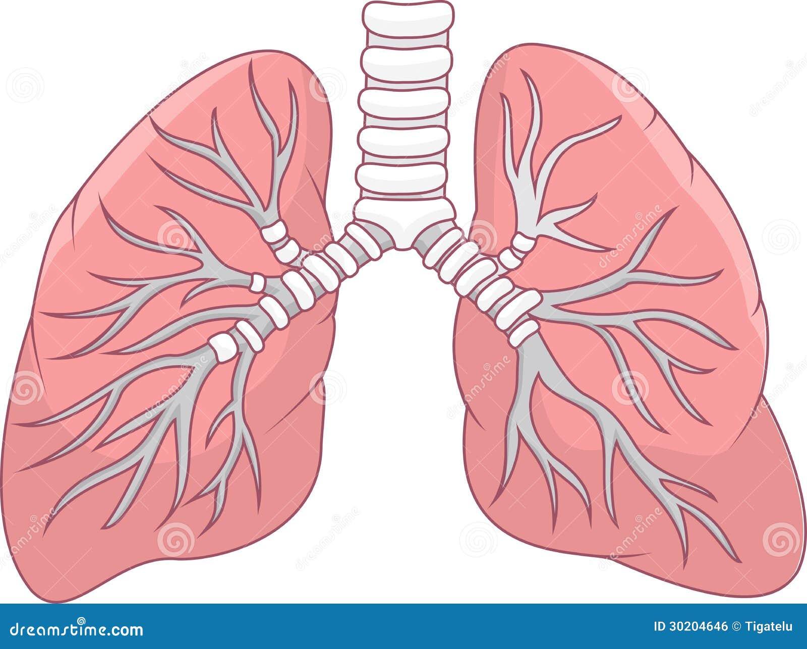 Menschliche Lunge vektor abbildung. Illustration von lungen - 30204646