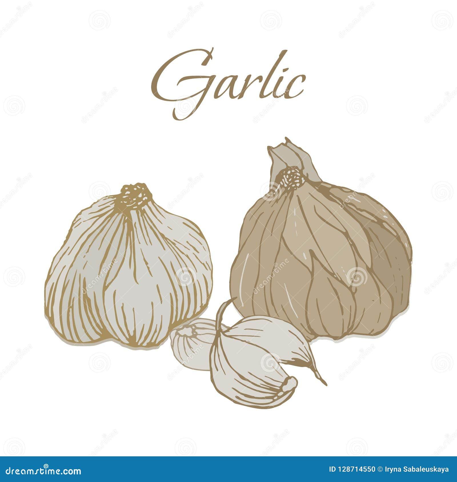 Illustration des Veggies savoureux Ail de vecteur
