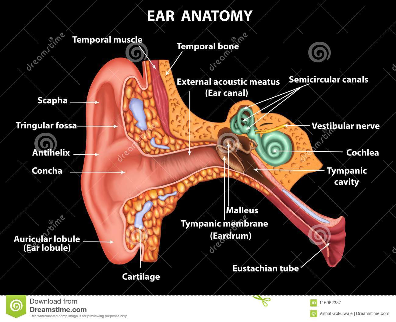 Illustration Of Examination Ear Anatomy Stock Illustration ...
