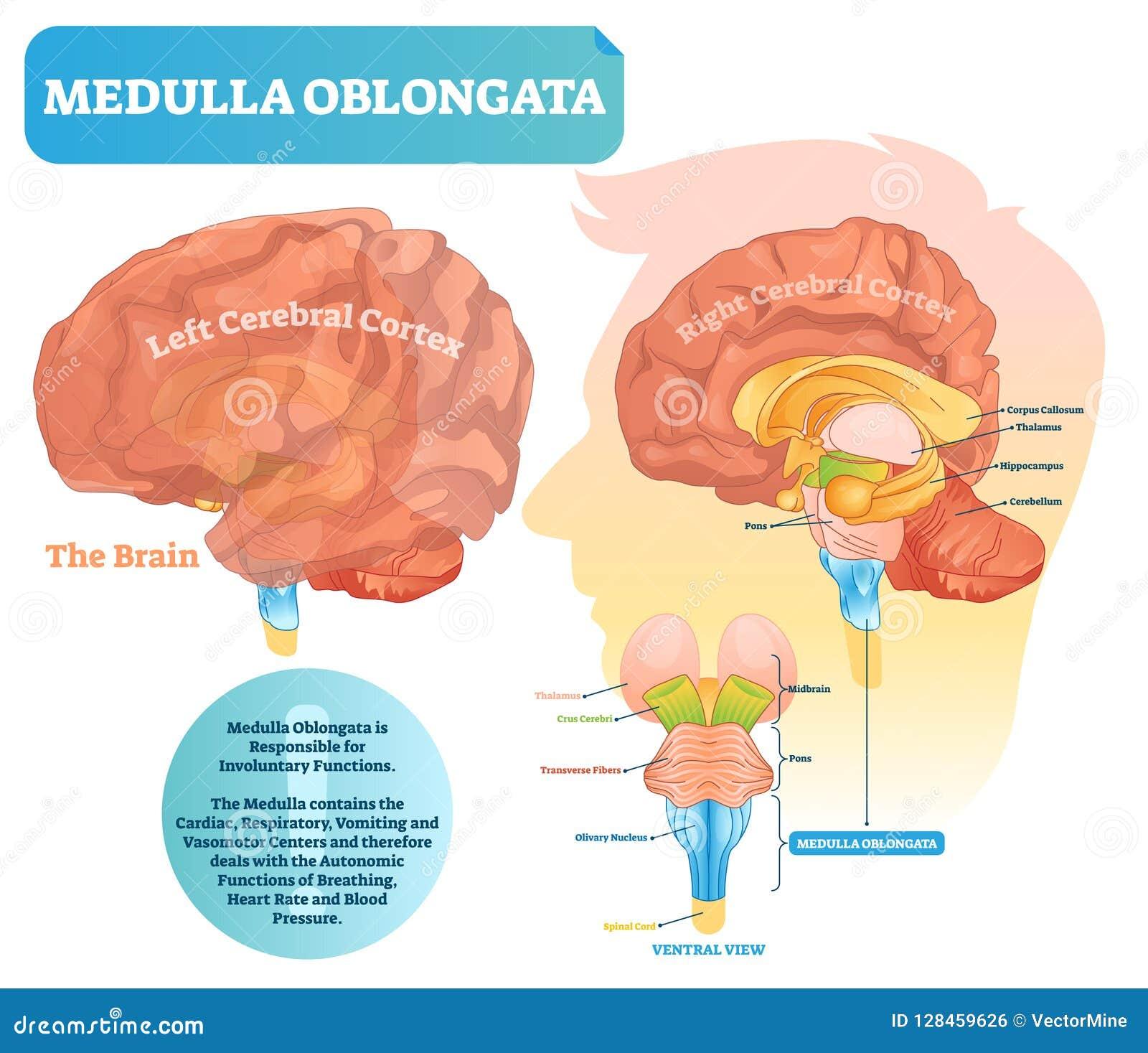 Illustration för Medullaoblongatavektor Märkt diagram med ventral sikt