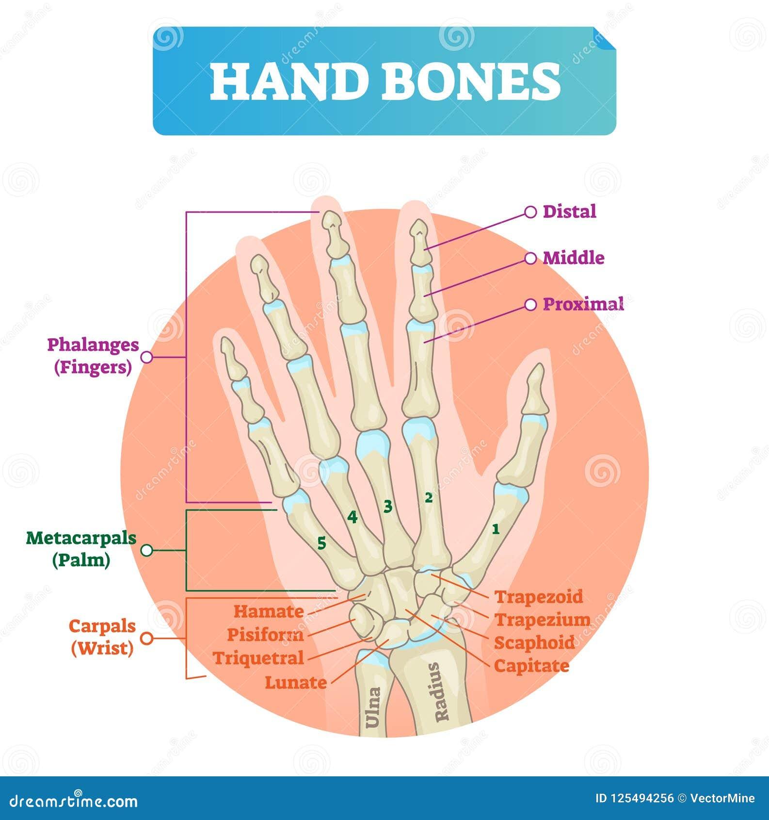 Illustration för vektor för handben Märkt bildande armstruktur