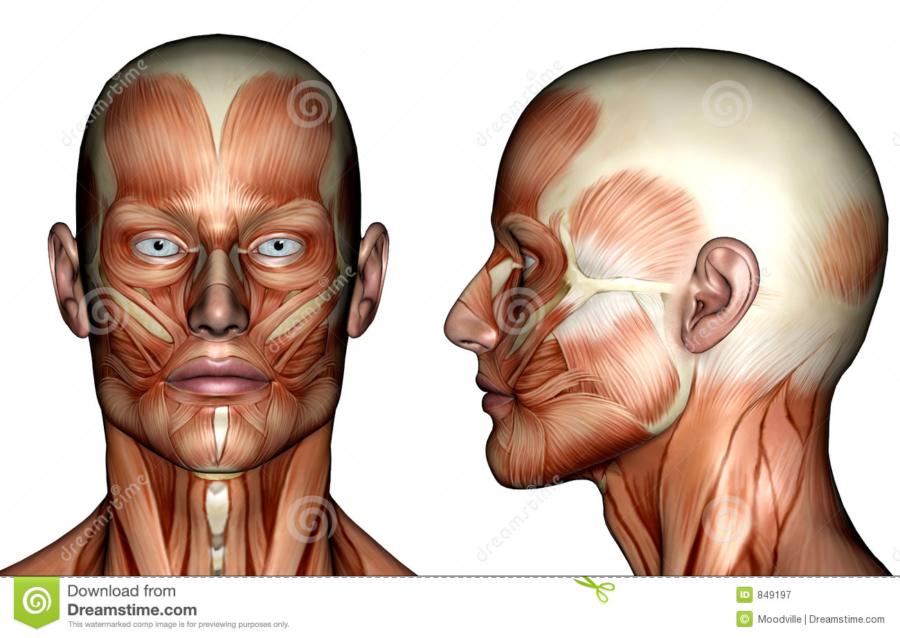 Muscle Man Diagram Face And Neck Trusted Wiring Diagrams