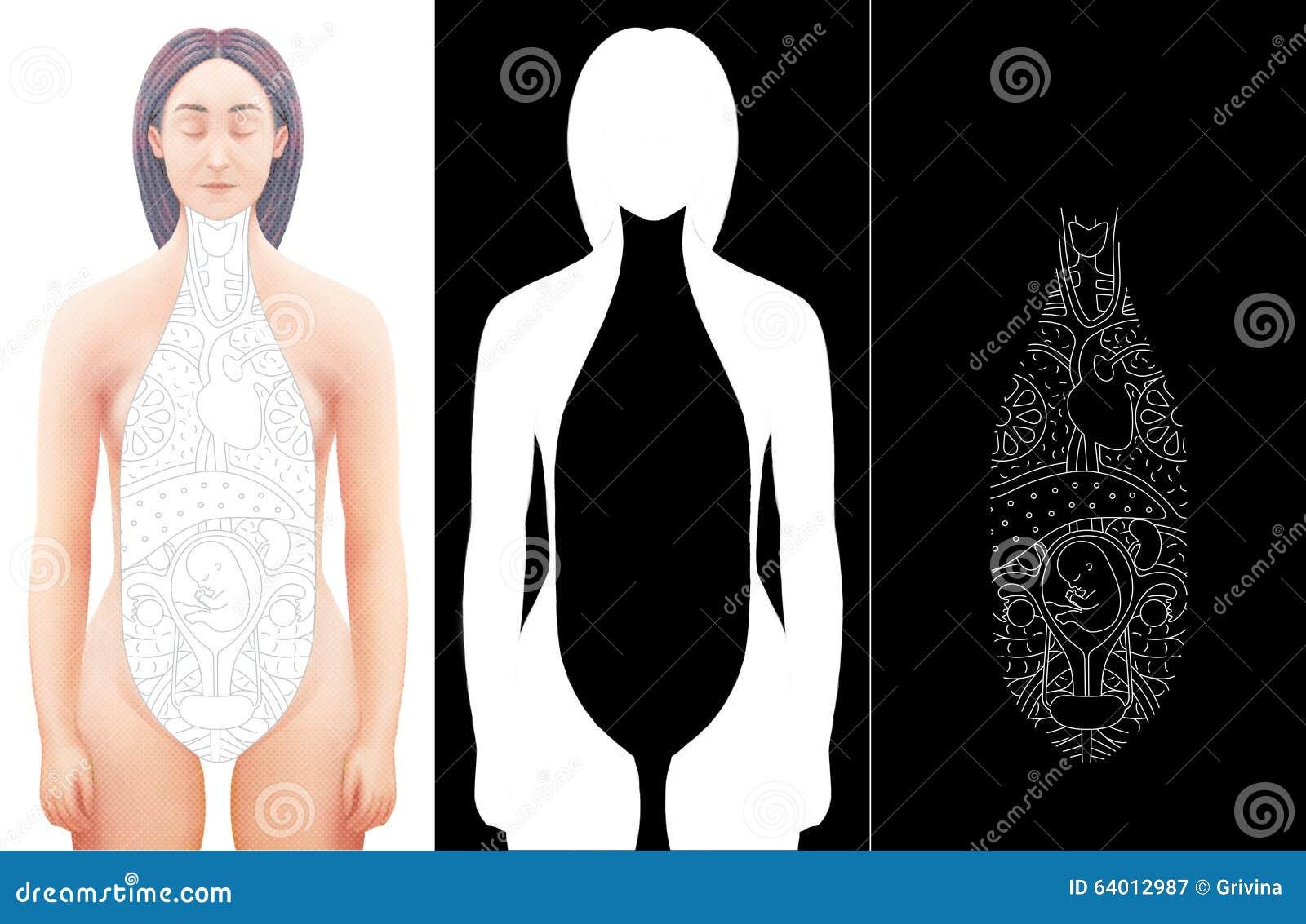 Illustration Of Hand Drawn Excised Female Anatomy Model Stock ...