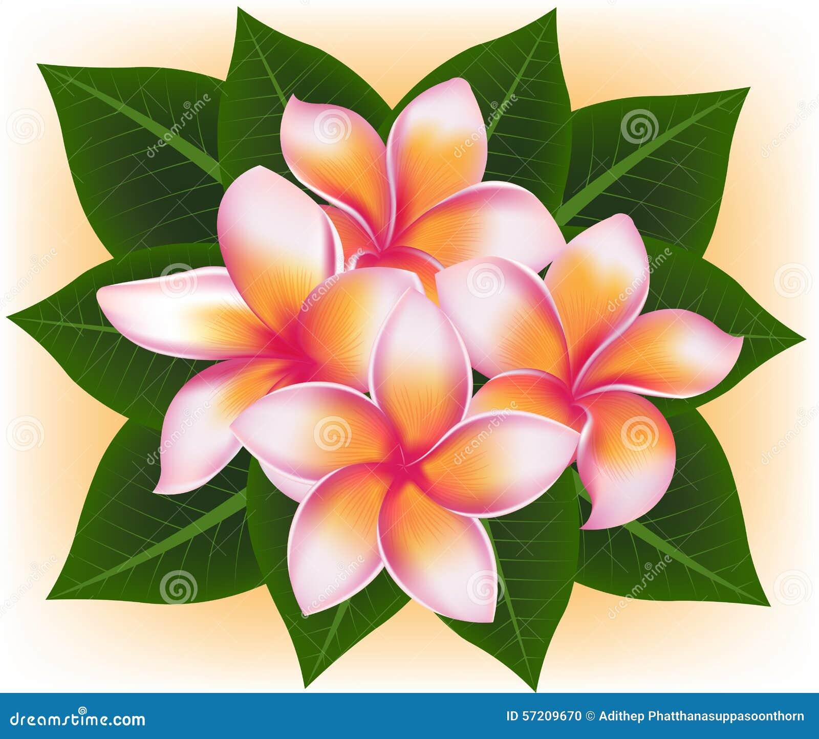 Illustration Of Hawaii Pink Flower Frangipani Plumeria Rubra Stock