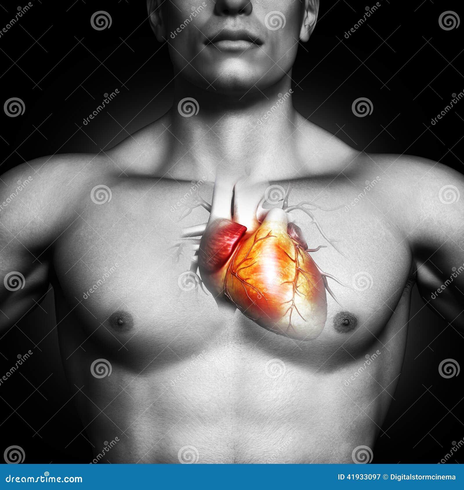 Illustration humaine d anatomie de coeur