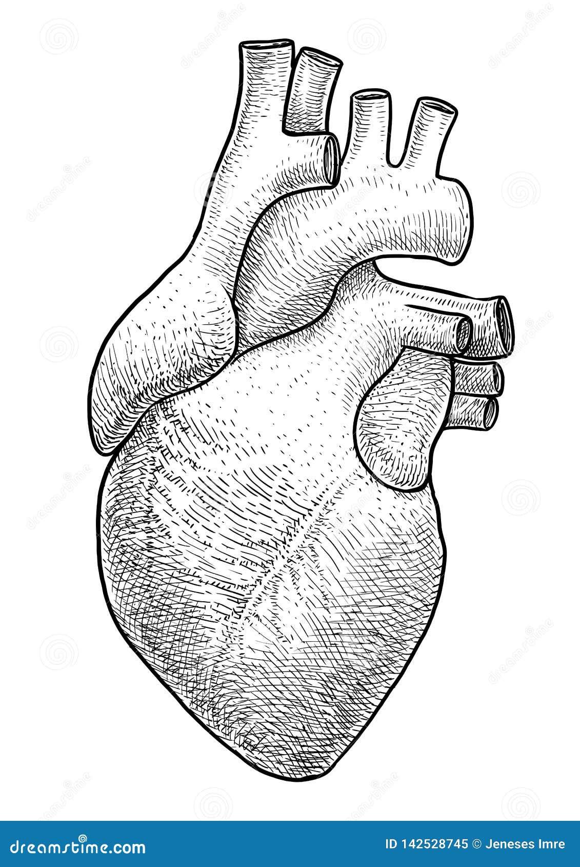 Illustration Humaine De Coeur Dessin Gravure Encre