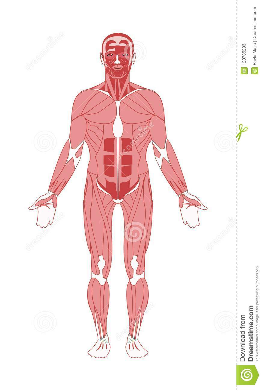 Human Male Anatomy Muscular System Stock Vector - Illustration of ...