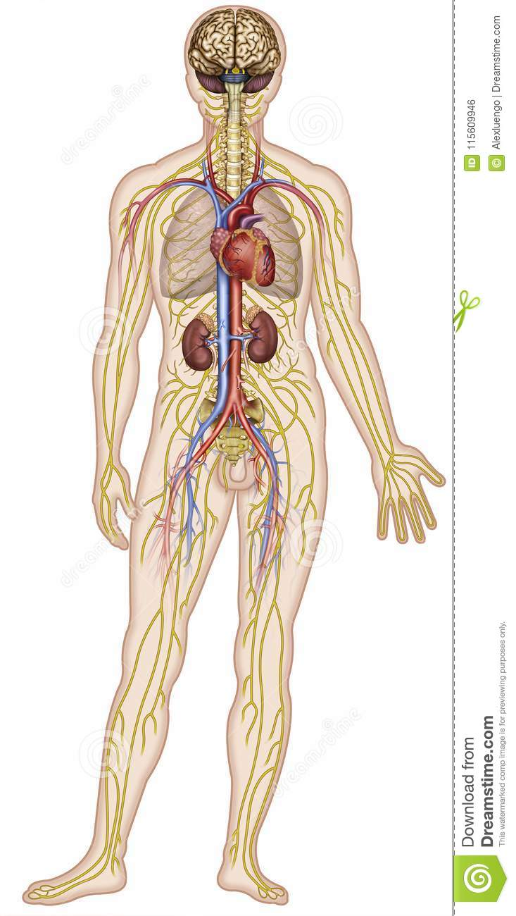 Nervous And Circulatory Systems Of The Human Body Illustration Of A