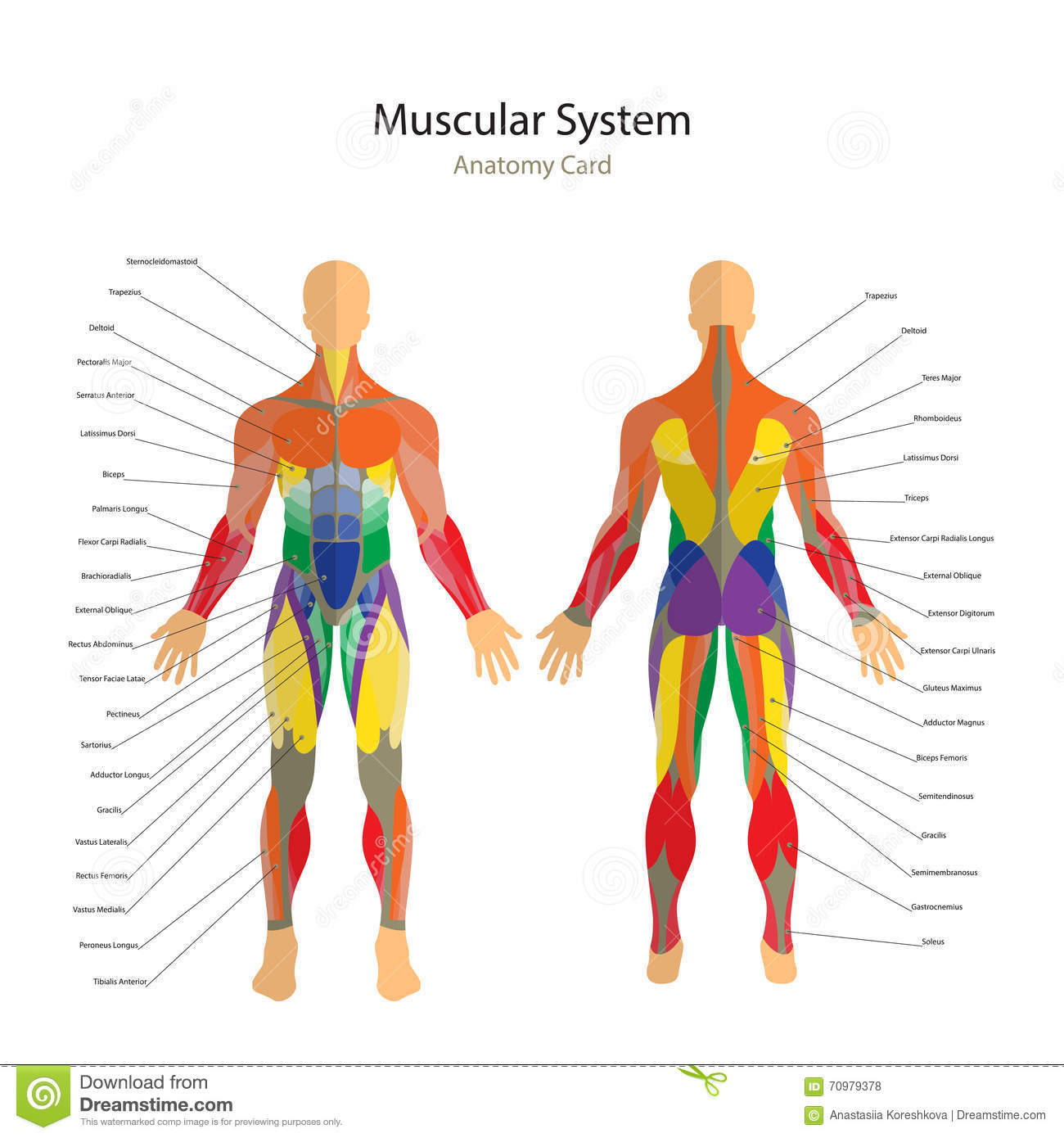 Illustration Of Human Muscles  Exercise And Muscle Guide