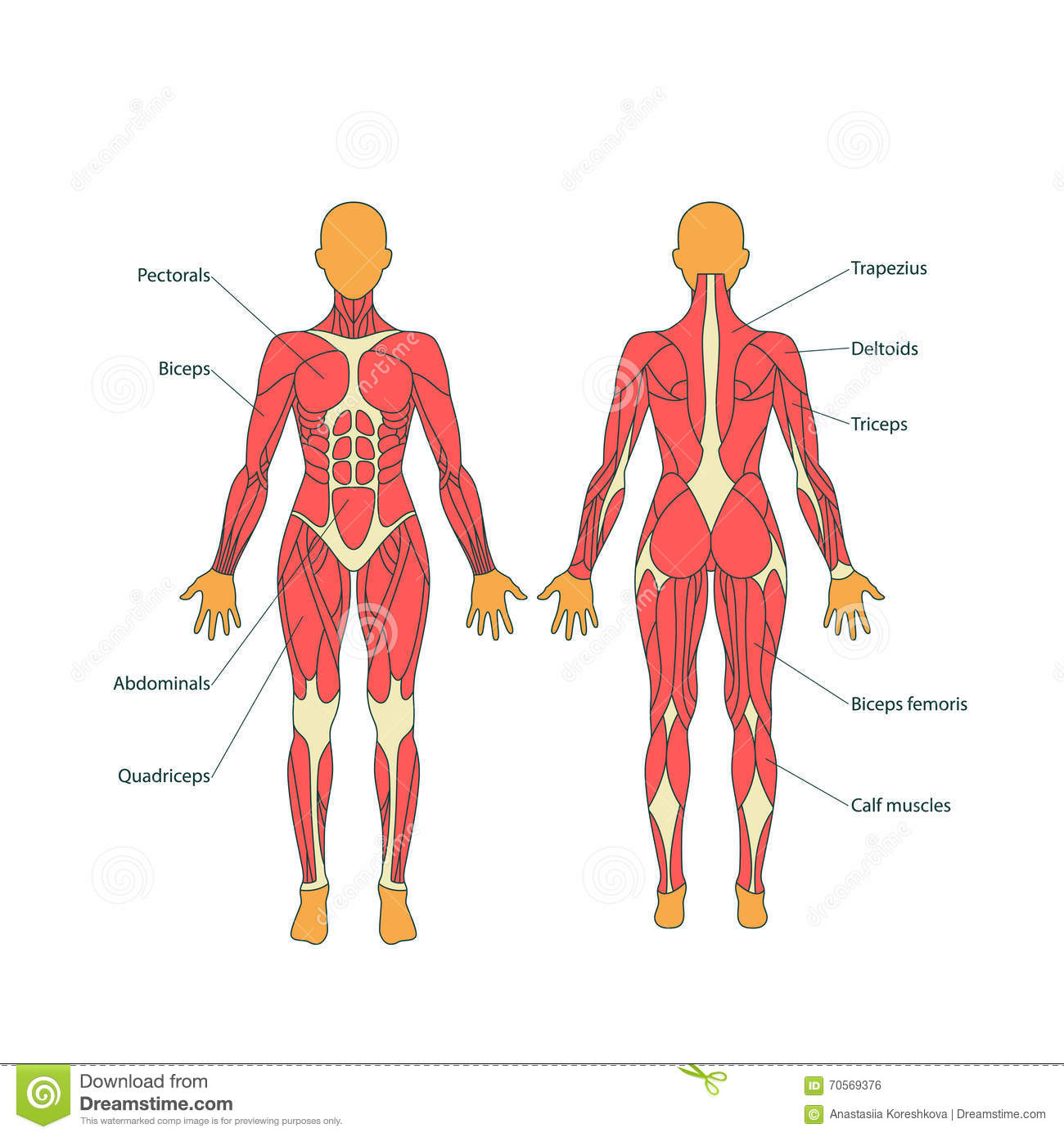human anatomy muscle system female stock illustrations – 262 human, Muscles