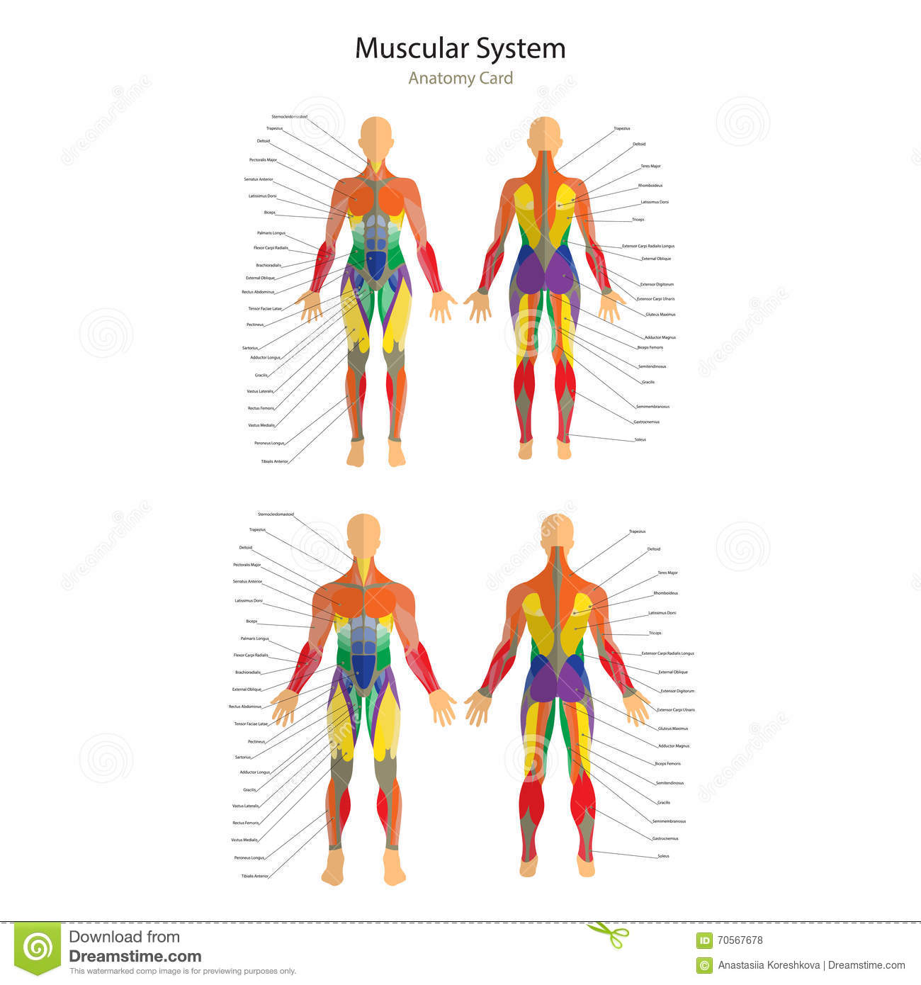 Illustration Of Human Muscles Female And Male Body Gym Training
