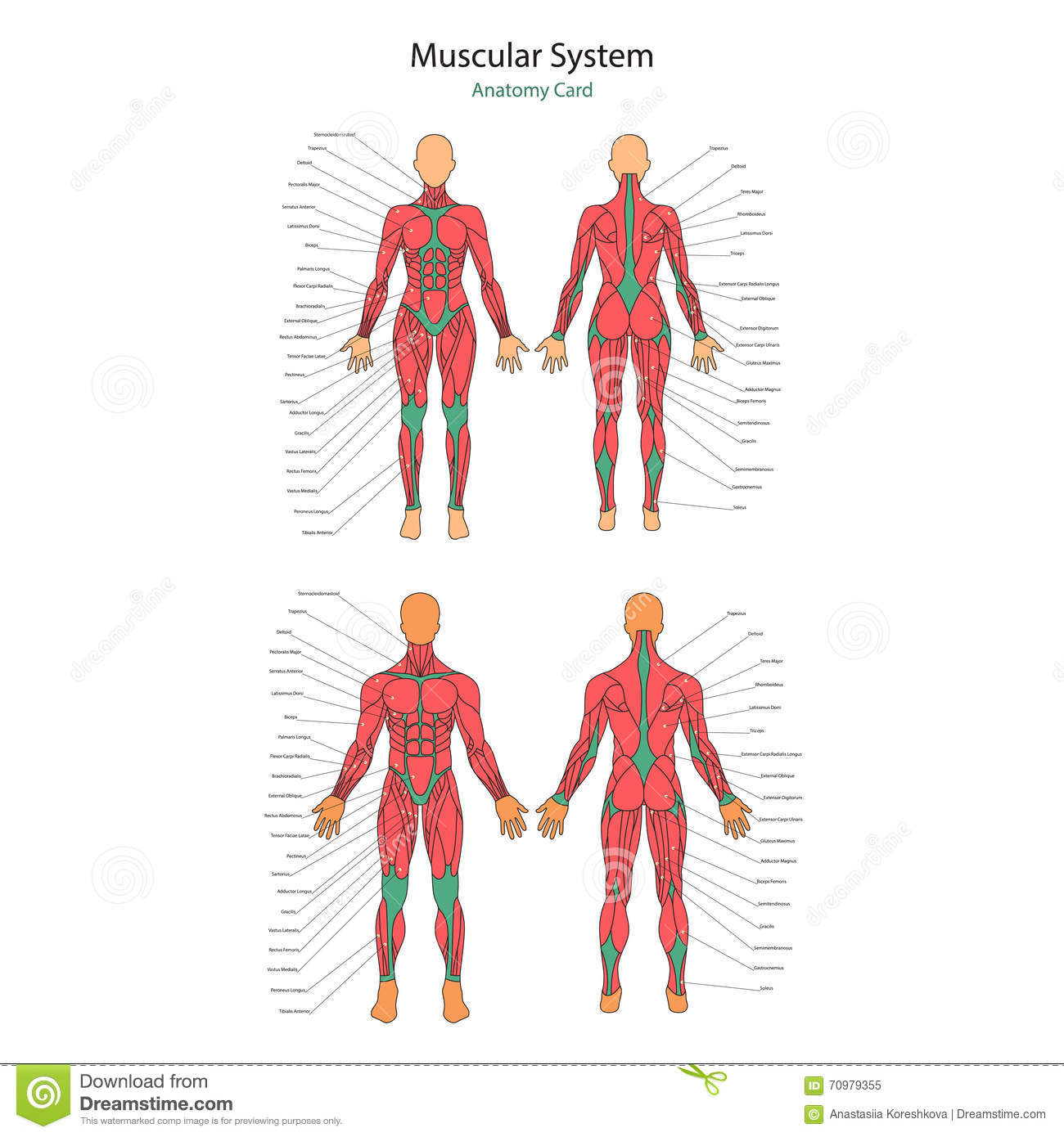 illustration of human muscles  the female body  gym