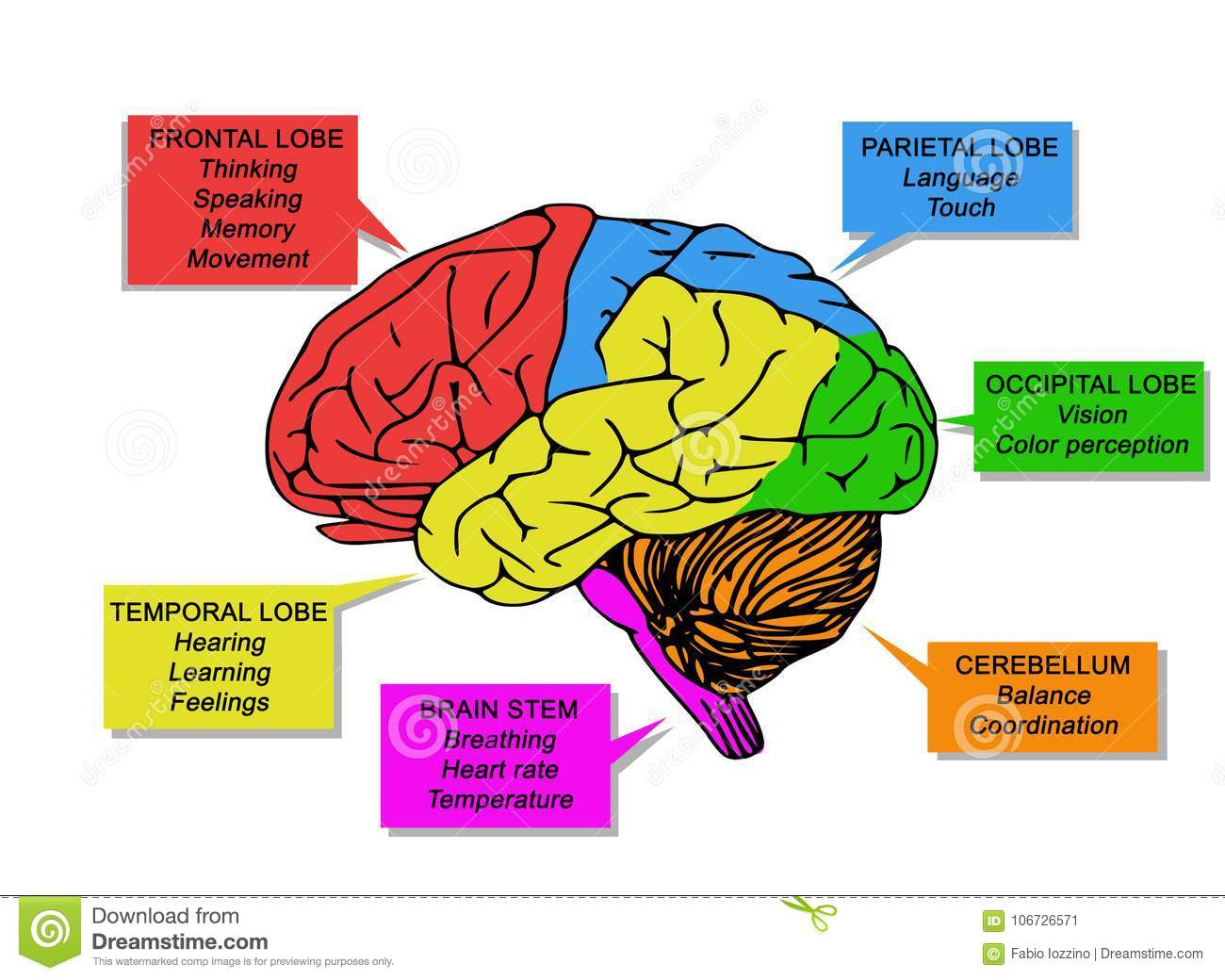 Illustration Of Human`s Brain Functions Stock Illustration ...