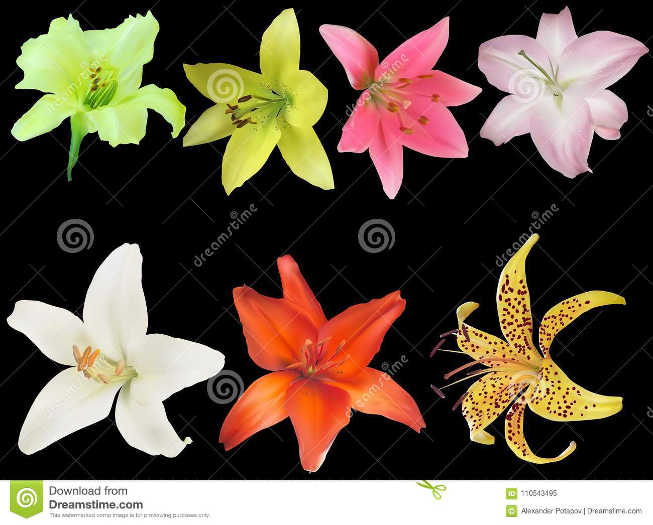 Seven isolated on black lily flower blooms collection stock vector download seven isolated on black lily flower blooms collection stock vector illustration of petal izmirmasajfo