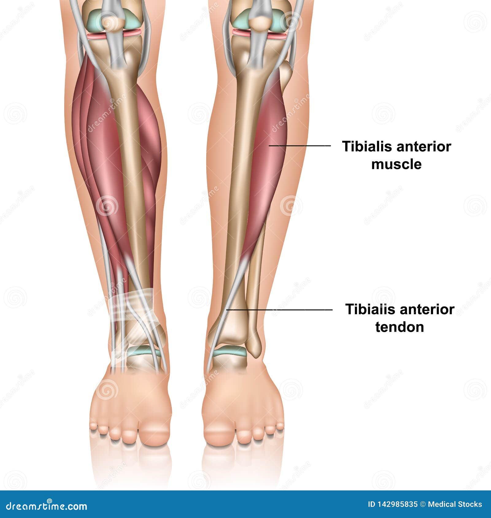 Illustration médicale antérieure de vecteur du muscle 3d de Tibialis sur le fond blanc