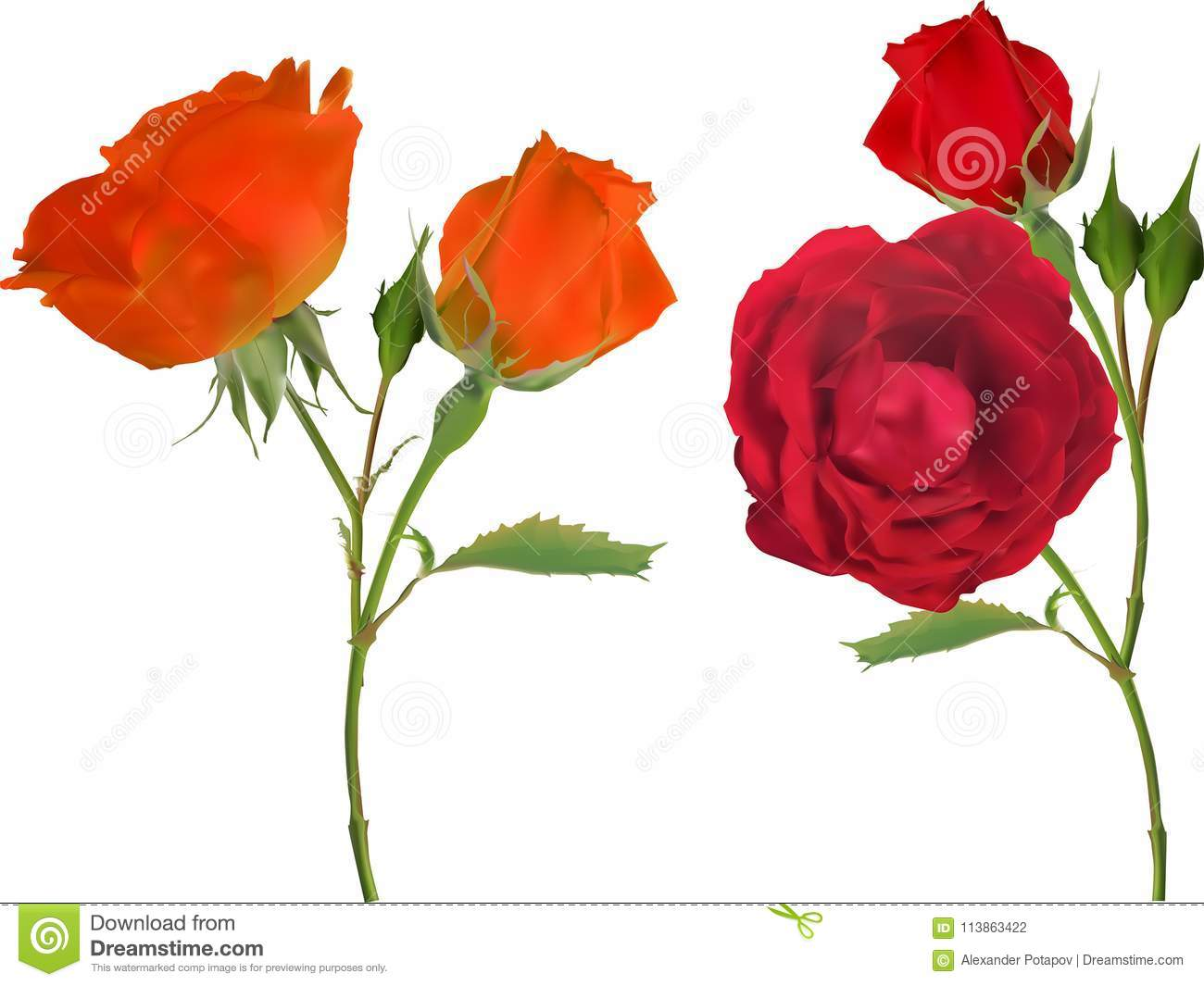Orange And Red Two Rose Flowers Isolated On White Stock Vector