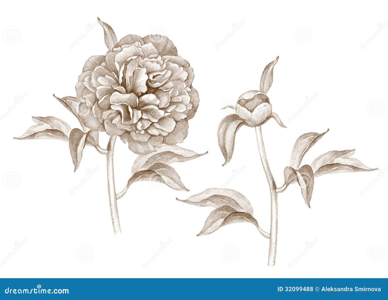 Vintage Peony Illustration Illustration of peony flower