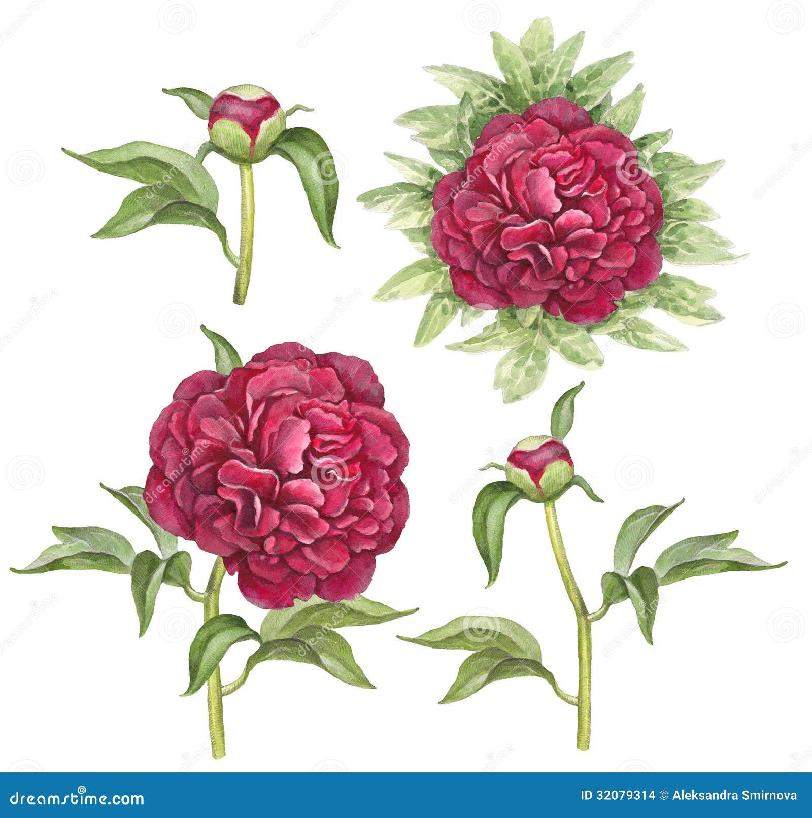 Illustration Of Peony Flowers Stock Images - Image: 32079314