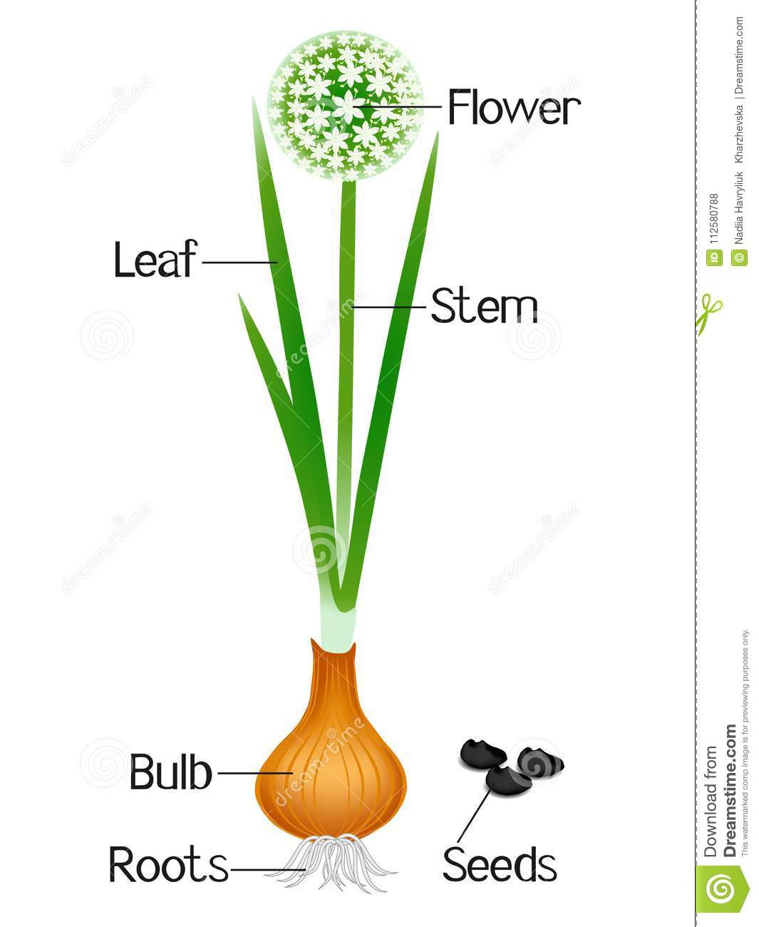 An Illustration Showing Parts Of A Onion Plant  Stock