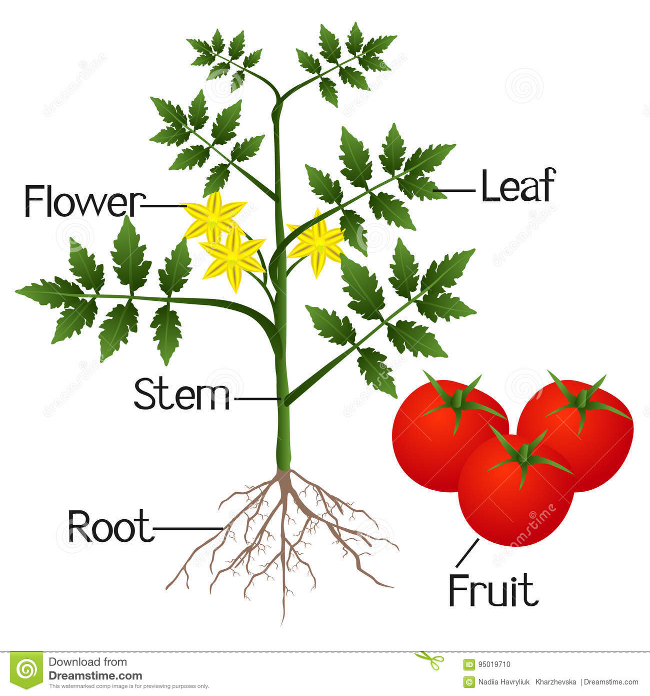 Illustration Showing The Parts Of A Tomato Plant. Stock Vector ...