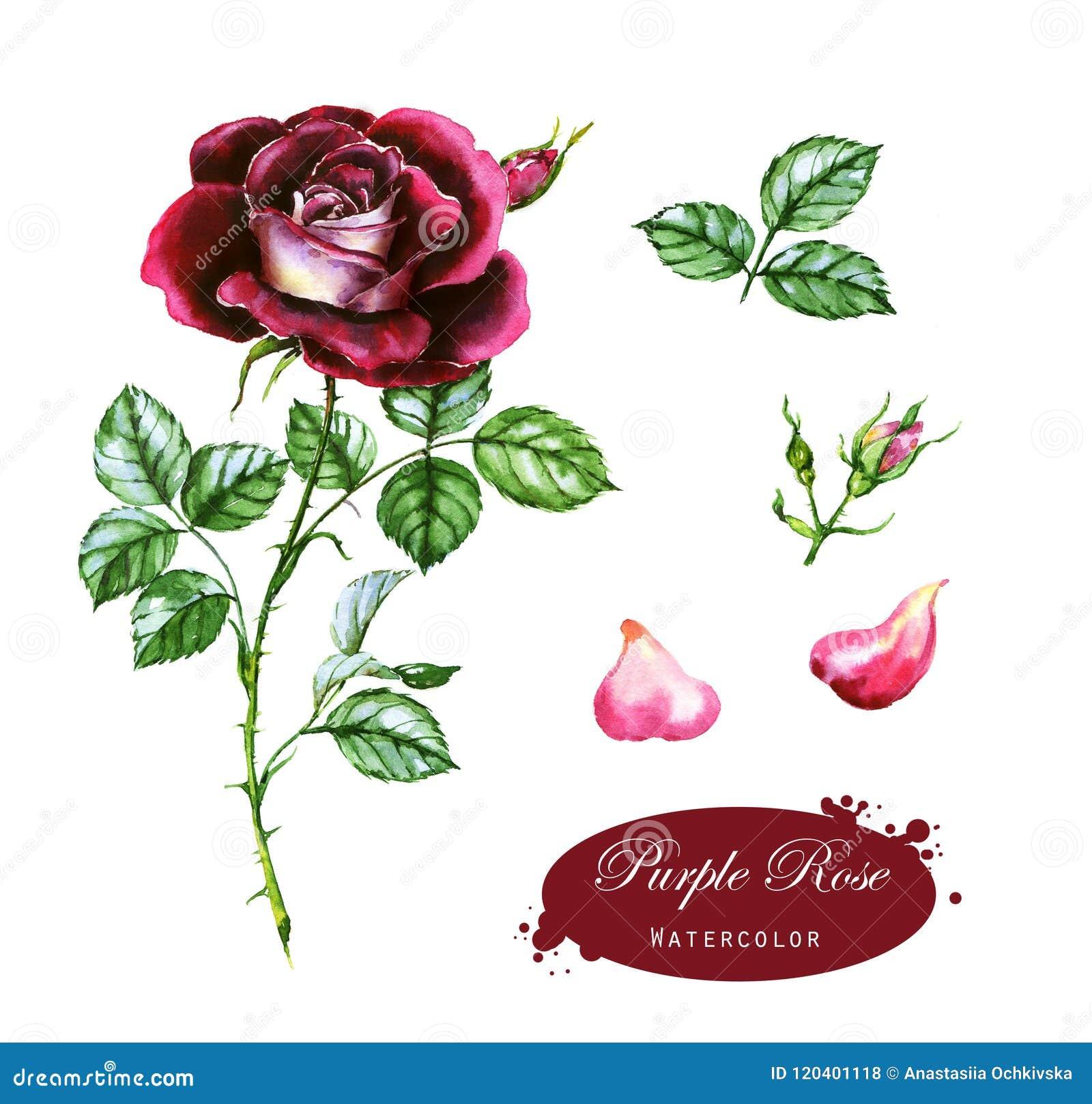 Illustration Tiree Par La Main D Aquarelle De La Rose Pourpre Dessin