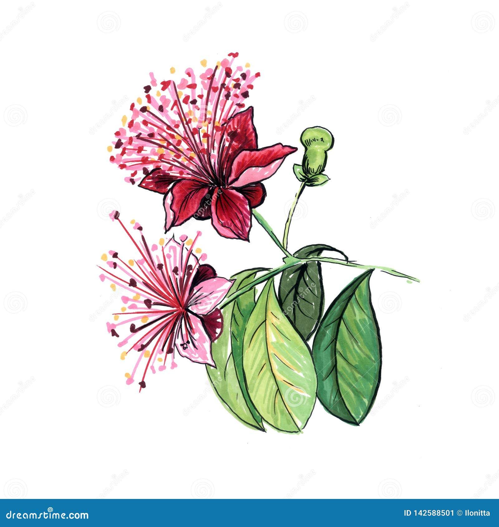 Illustration Tirée Par La Main De Fleur De Feijoa