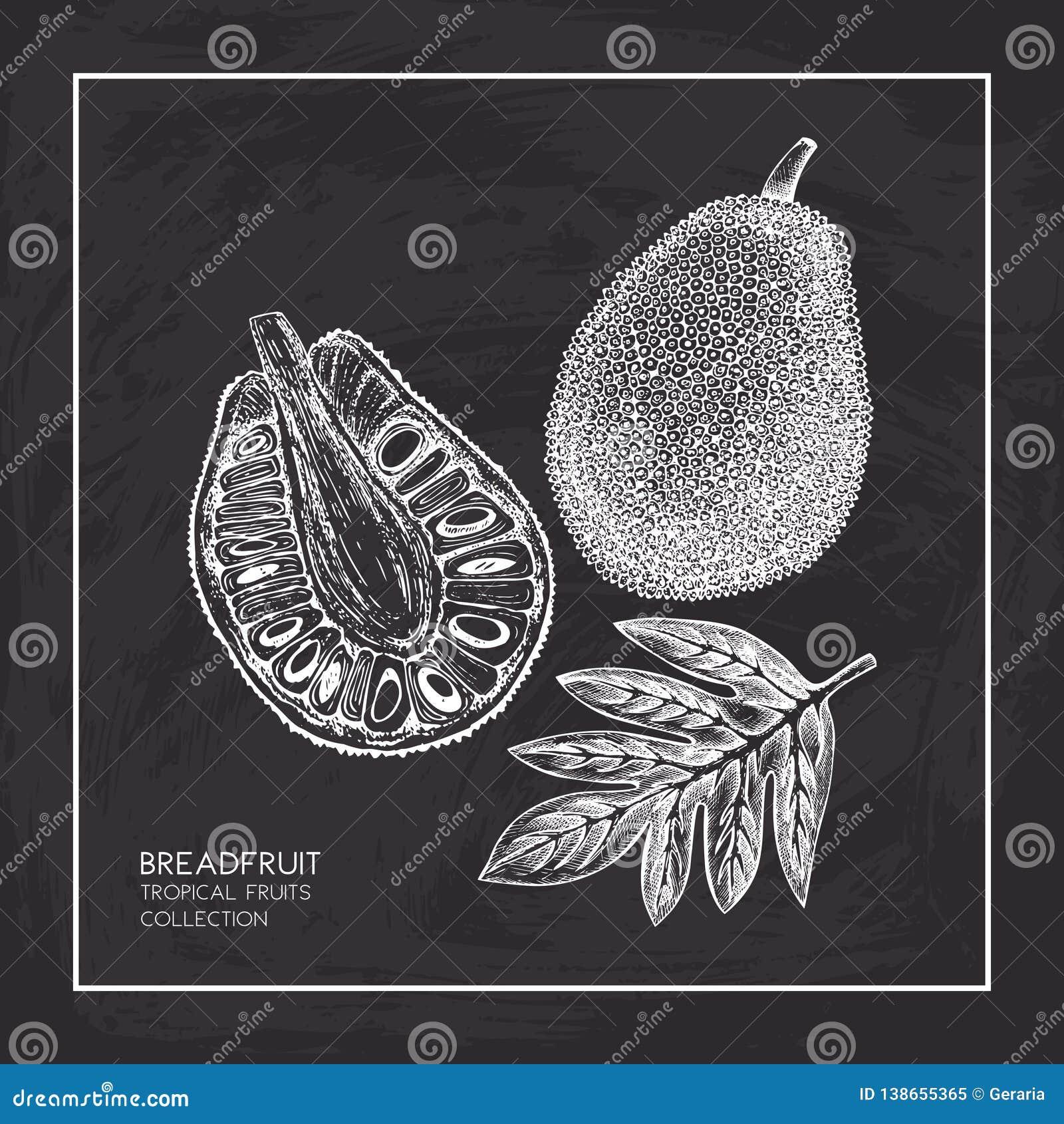 Illustration Tirée Par La Main De Fruits à Pain Croquis