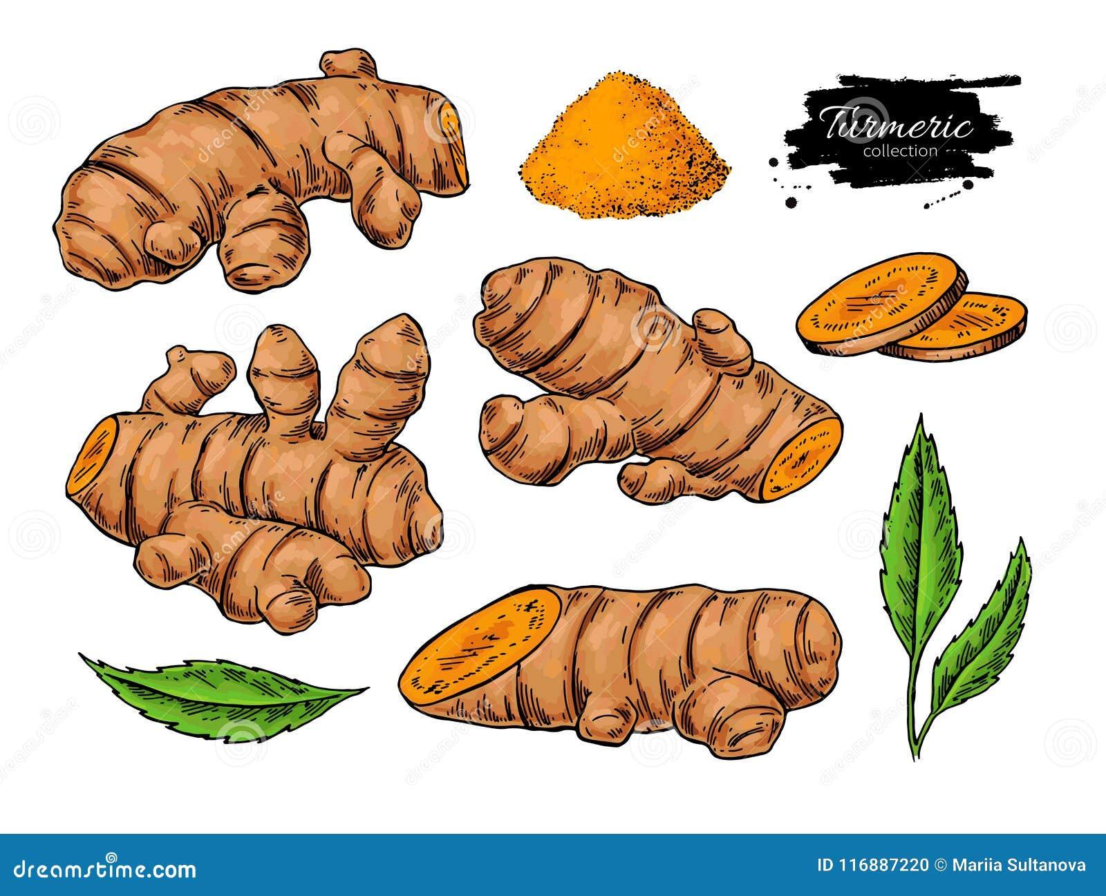Illustration tirée par la main de vecteur de racine de safran des indes Safran des Indes, poudre,