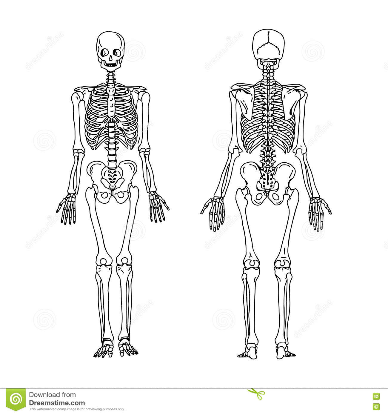 skeletal system outline Skeletal system  be sure to read the chapter and all of its parts-- chapter  outline, objectives, test  name the bones of the skeletal on your green packet.