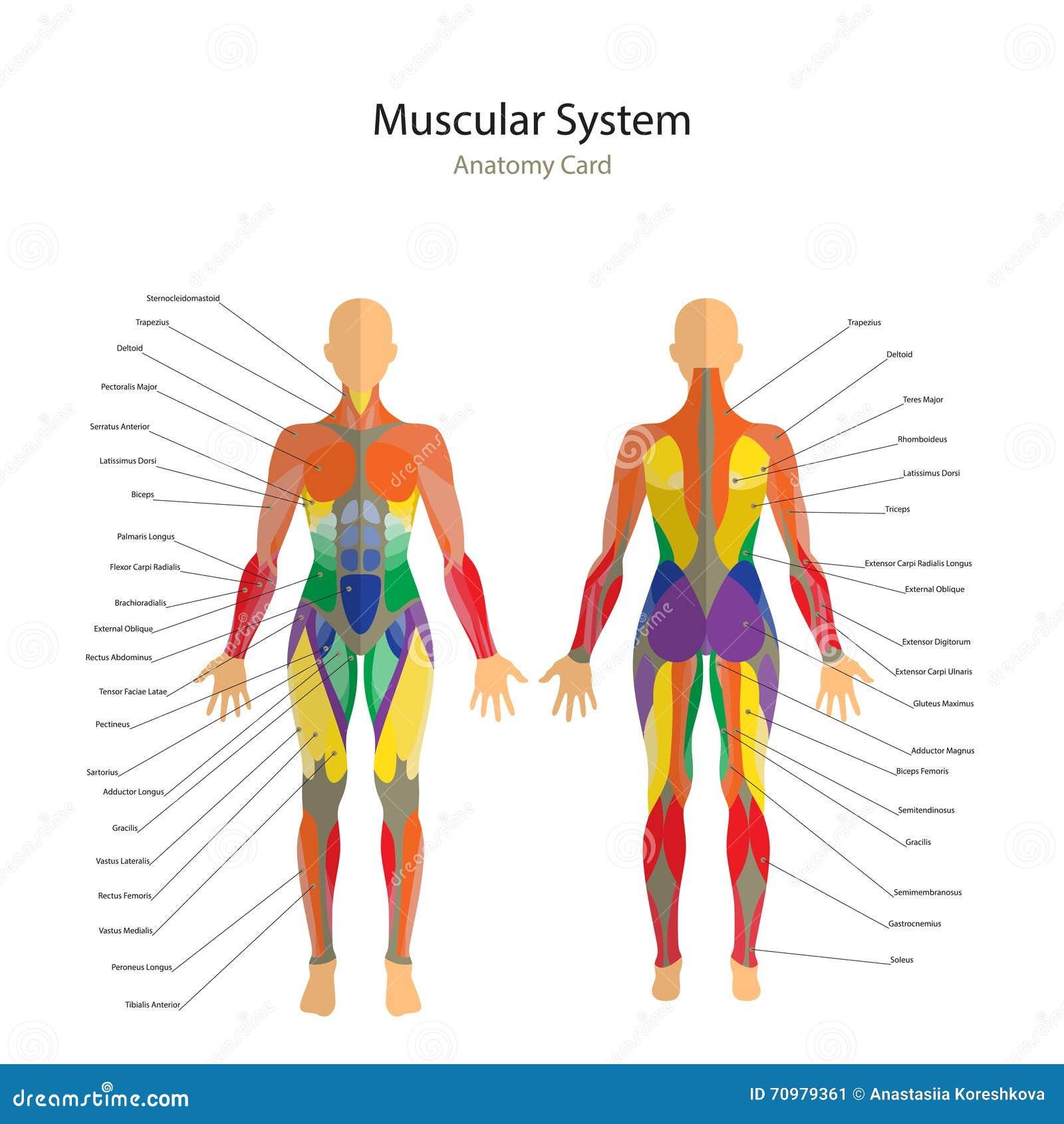 Illustration Von Menschlichen Muskeln Der Weibliche Körper ...