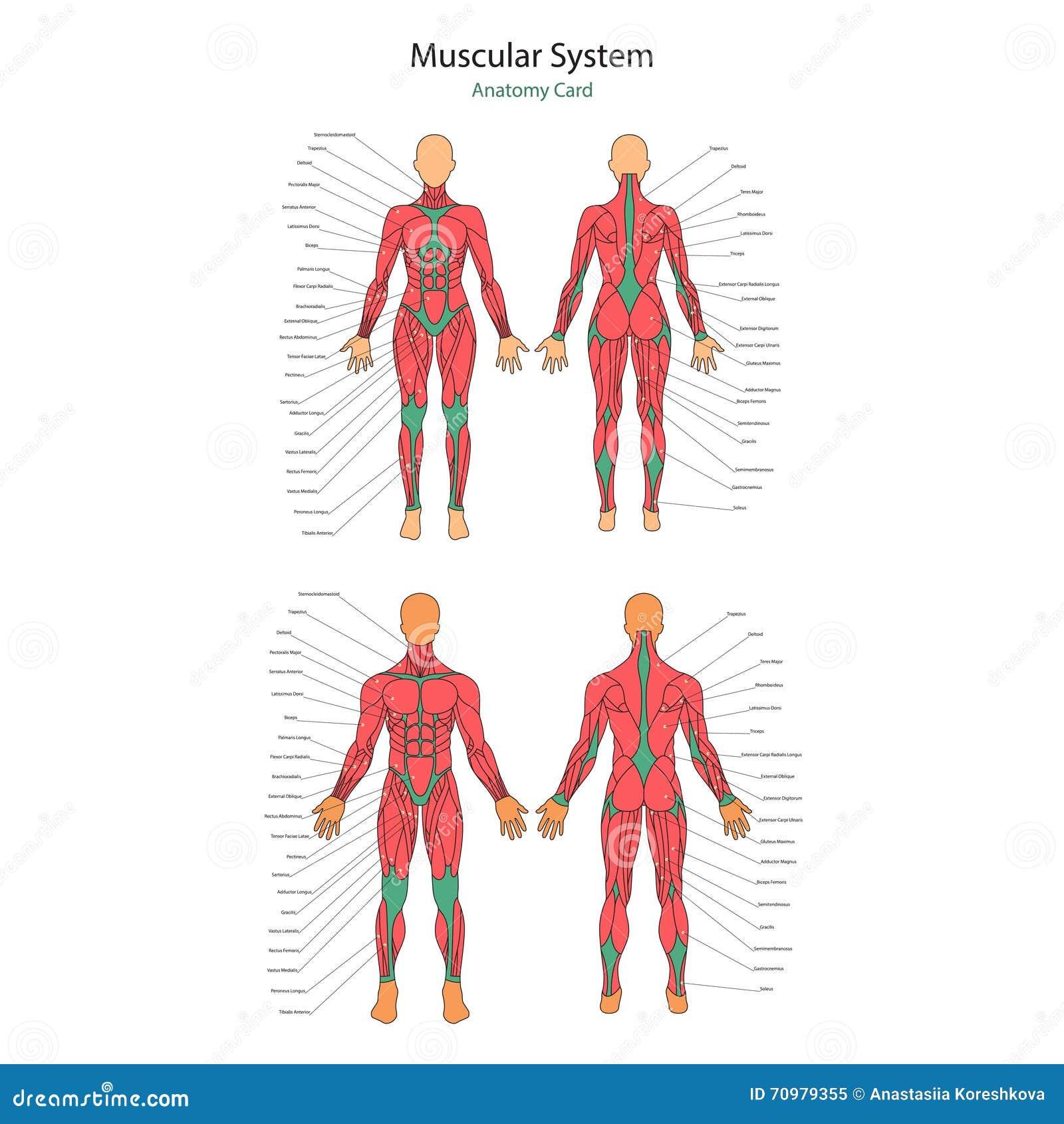 Illustration Von Menschlichen Muskeln Übung Und Muskelführer ...
