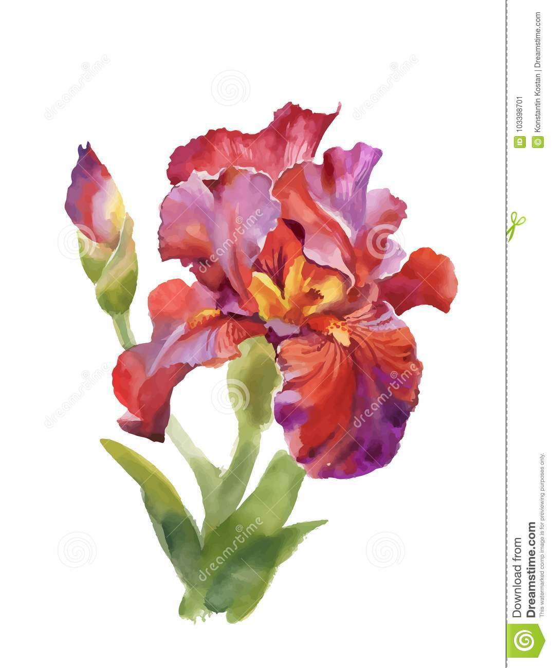 Illustration Watercolor Iris Flower Isolated On White Background ...