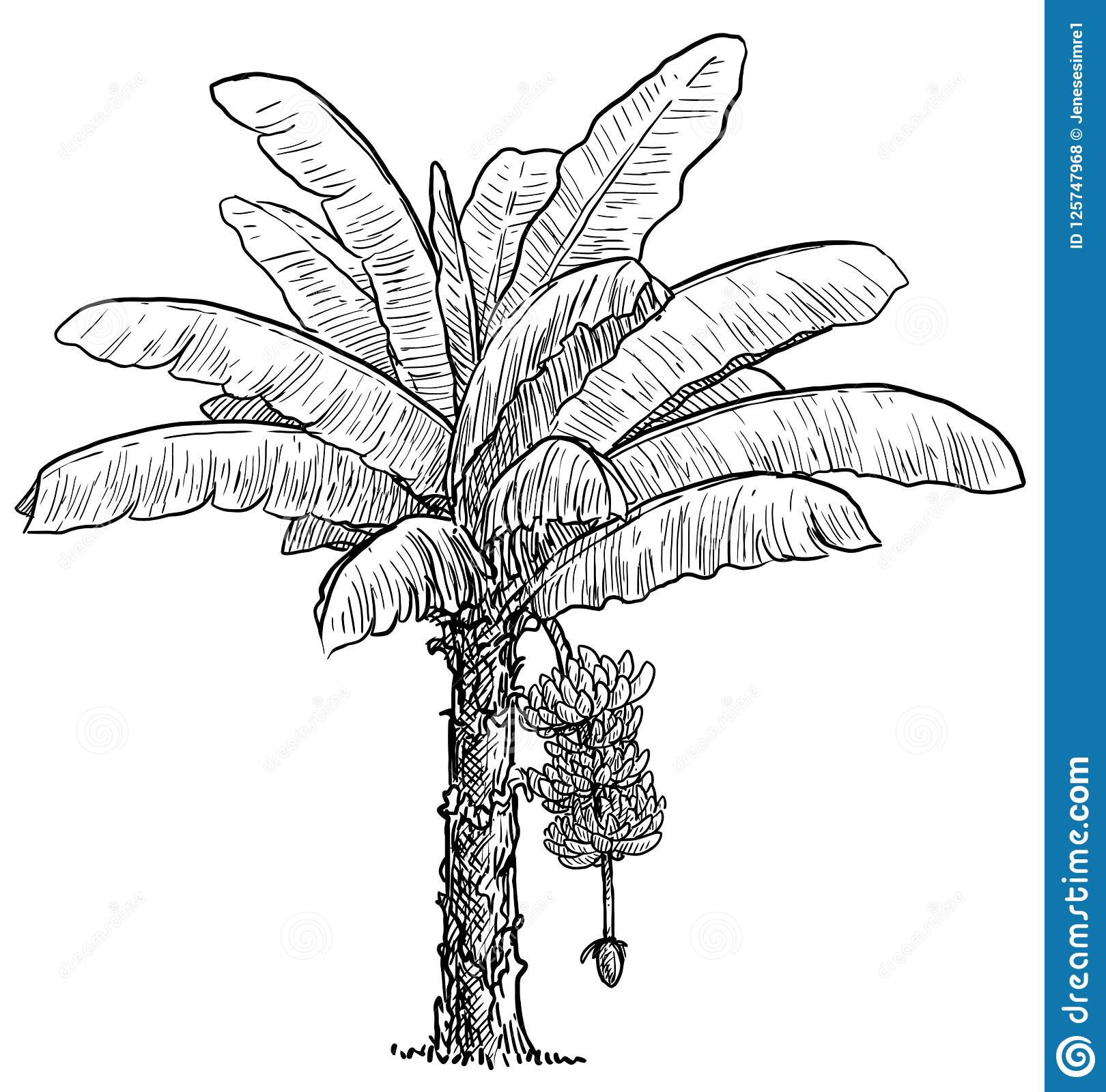 Banana Tree Illustration Drawing Engraving Ink Line Art Vector Stock Vector Illustration Of Grow Flora 125747968