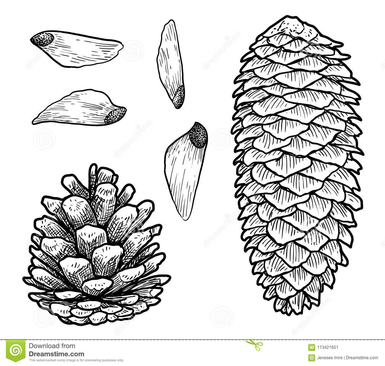 Pine Cone Illustration, Drawing, Engraving, Ink, Line Art