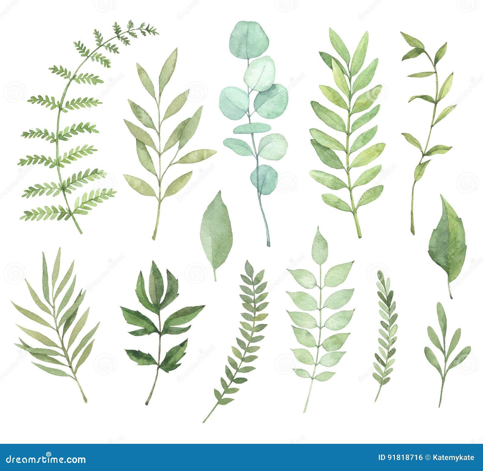 Illustrations tirées par la main d aquarelle Clipart botanique Ensemble de g