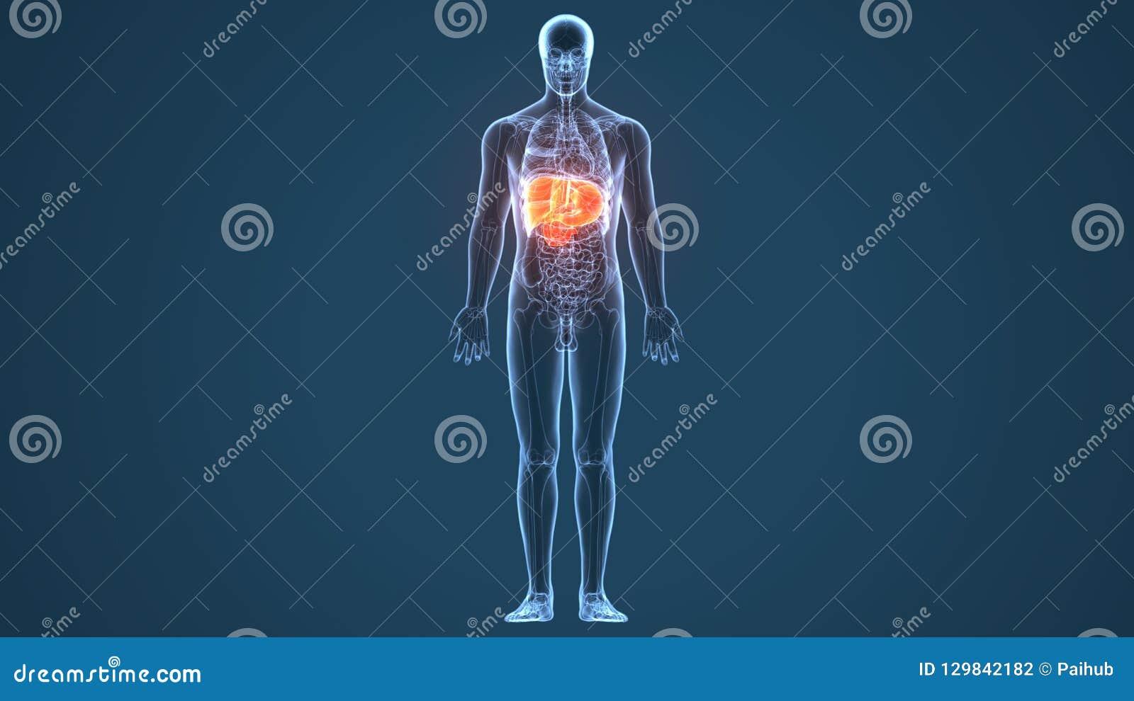 Illustrazione 3d di anatomia dello stomaco del corpo umano