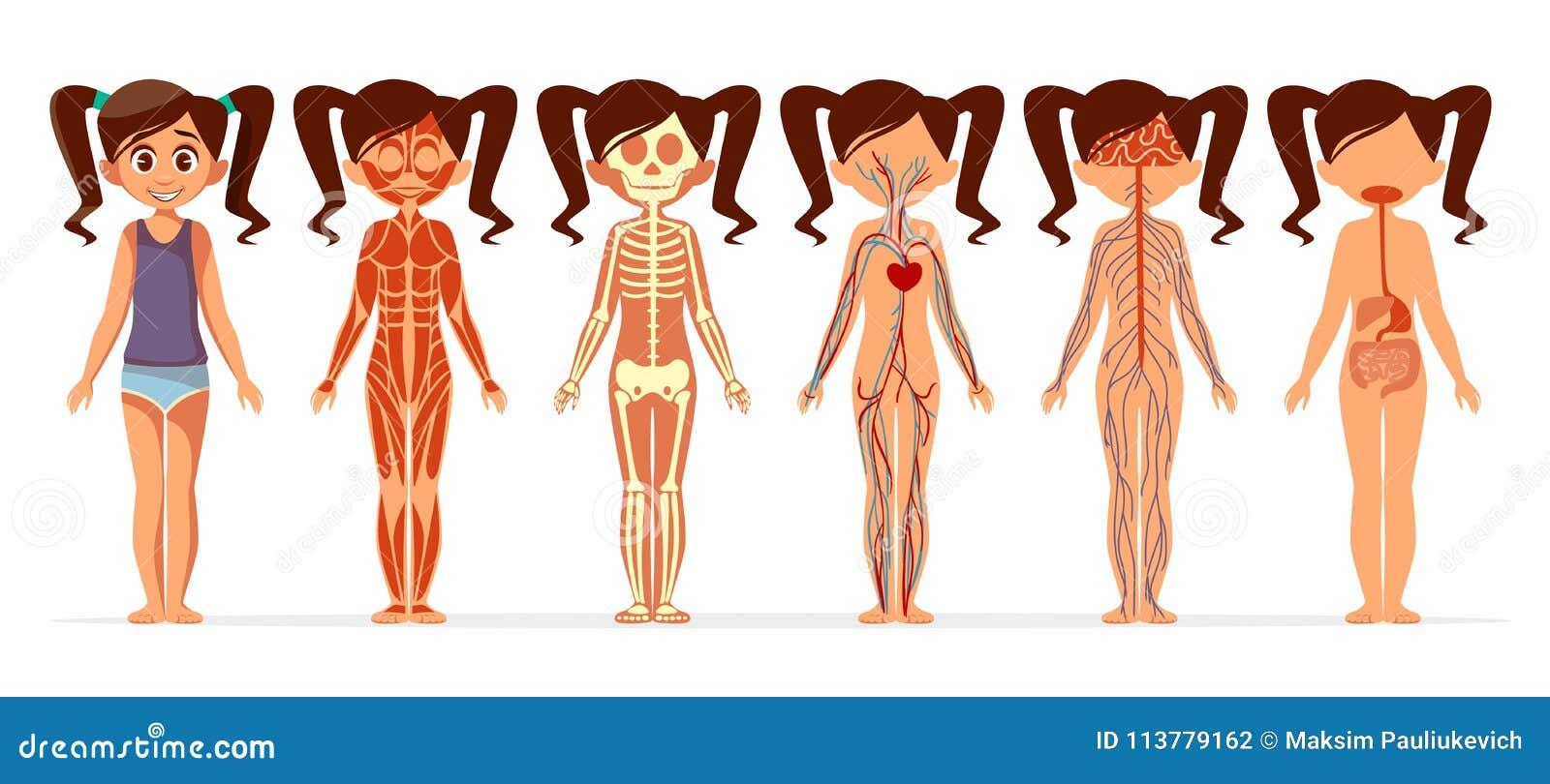 Illustrazione del fumetto di vettore di anatomia del corpo della ragazza muscolare, scheletrico femminile, circolatorio o nervoso