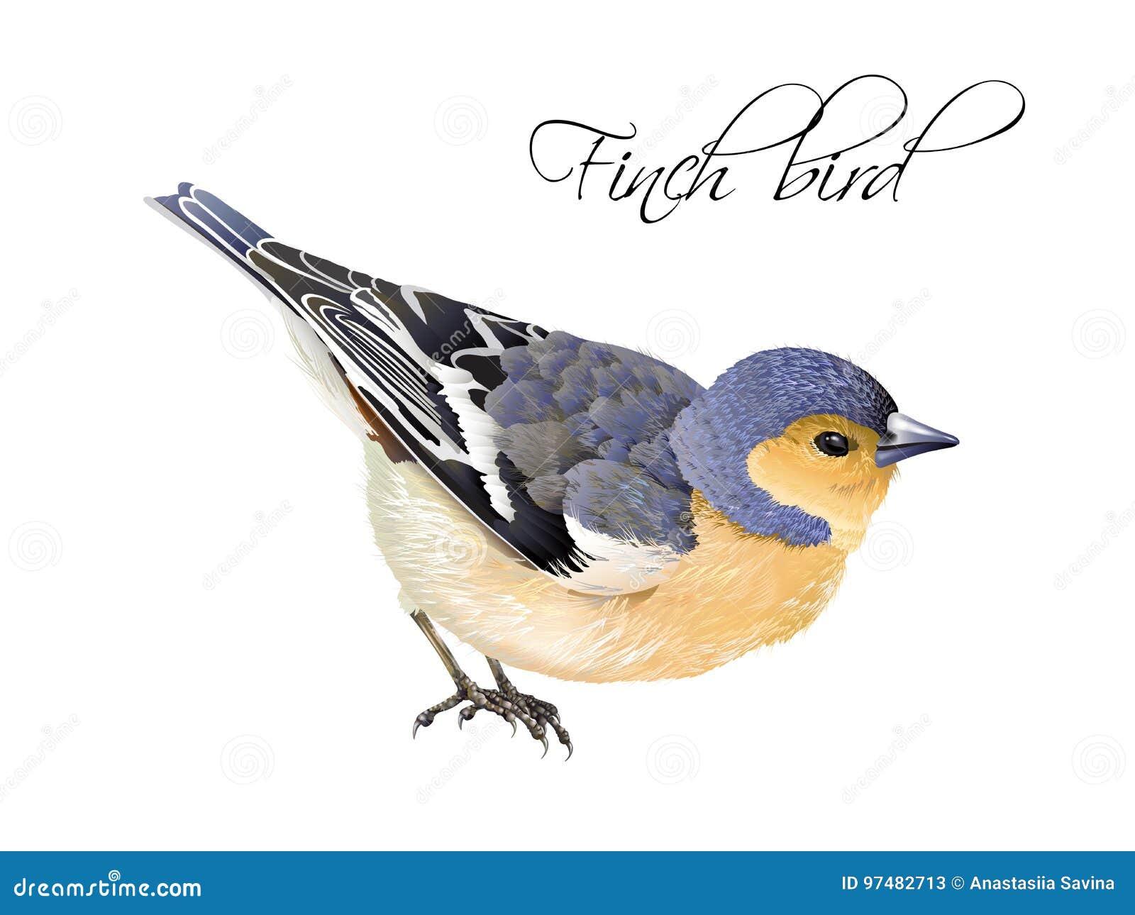 Illustrazione dell uccello del fringillide