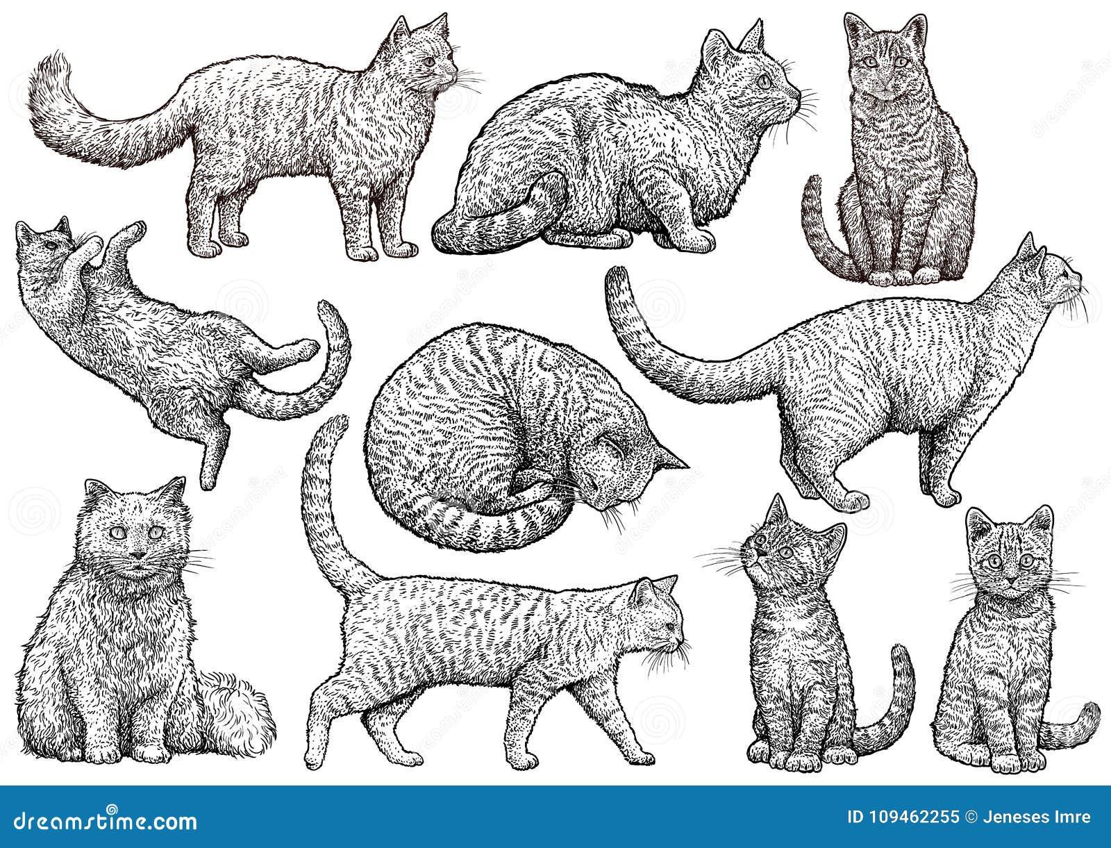 Illustrazione Della Raccolta Del Gatto Disegno Incisione
