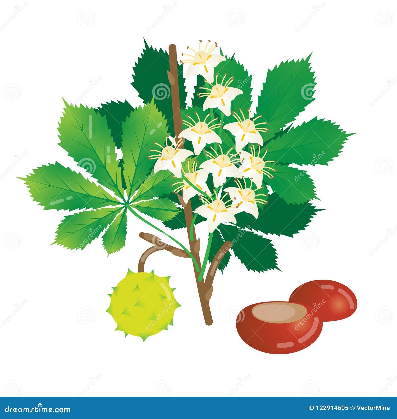 Illustrazione di fioritura di vettore della castagna, gruppo isolato di oggetti con la castagna, foglie, brunch e fiori Progettaz