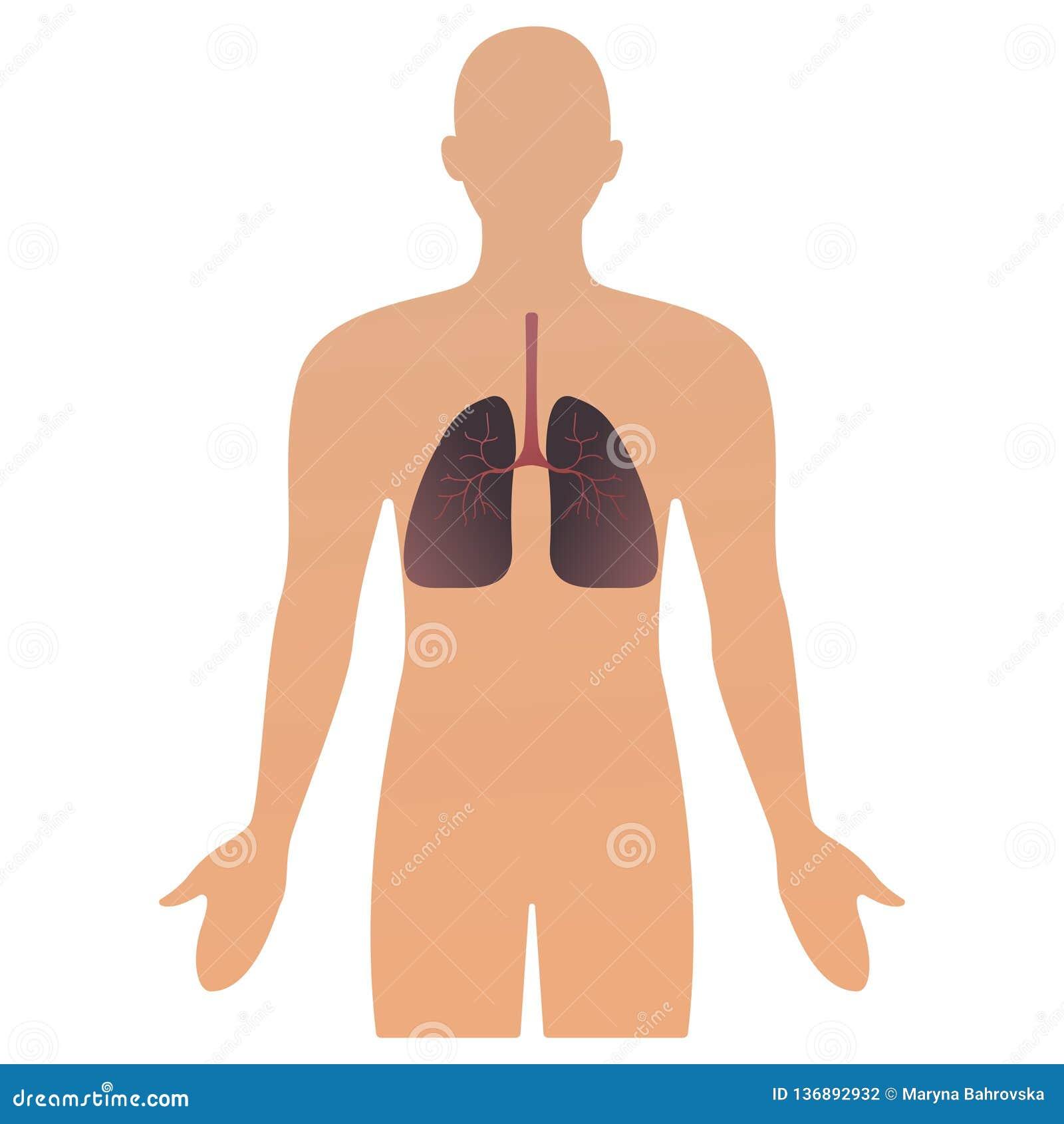 Illustrazione di vettore degli organi umani siluetta anatomica umana dell uomo con l organo polmoni sanità di concetto dell illus
