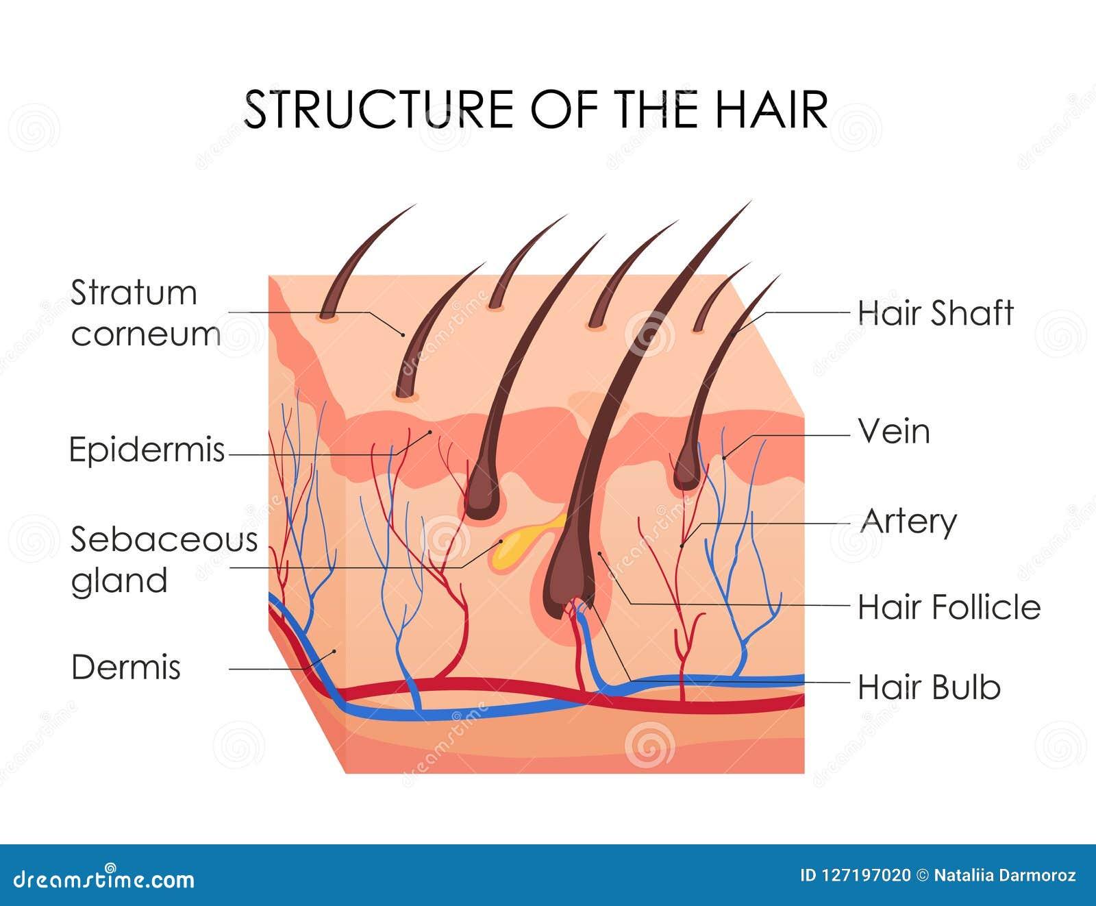 Illustrazione di vettore del diagramma dei capelli umani Pezzo di pelle umana e tutta la struttura di capelli sui precedenti bian