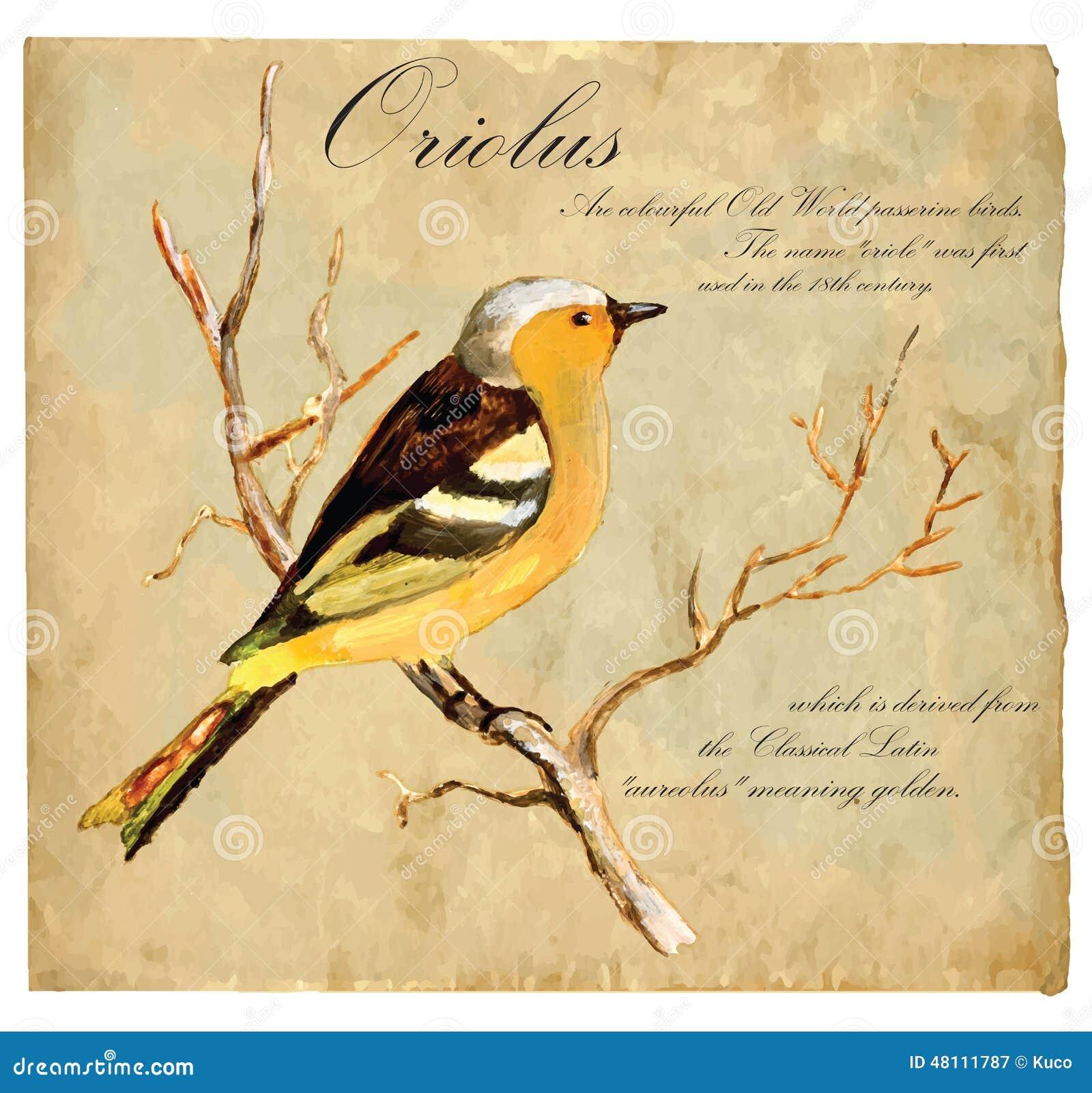 Illustrazione dipinta a mano (vettore), uccello: Oriolus
