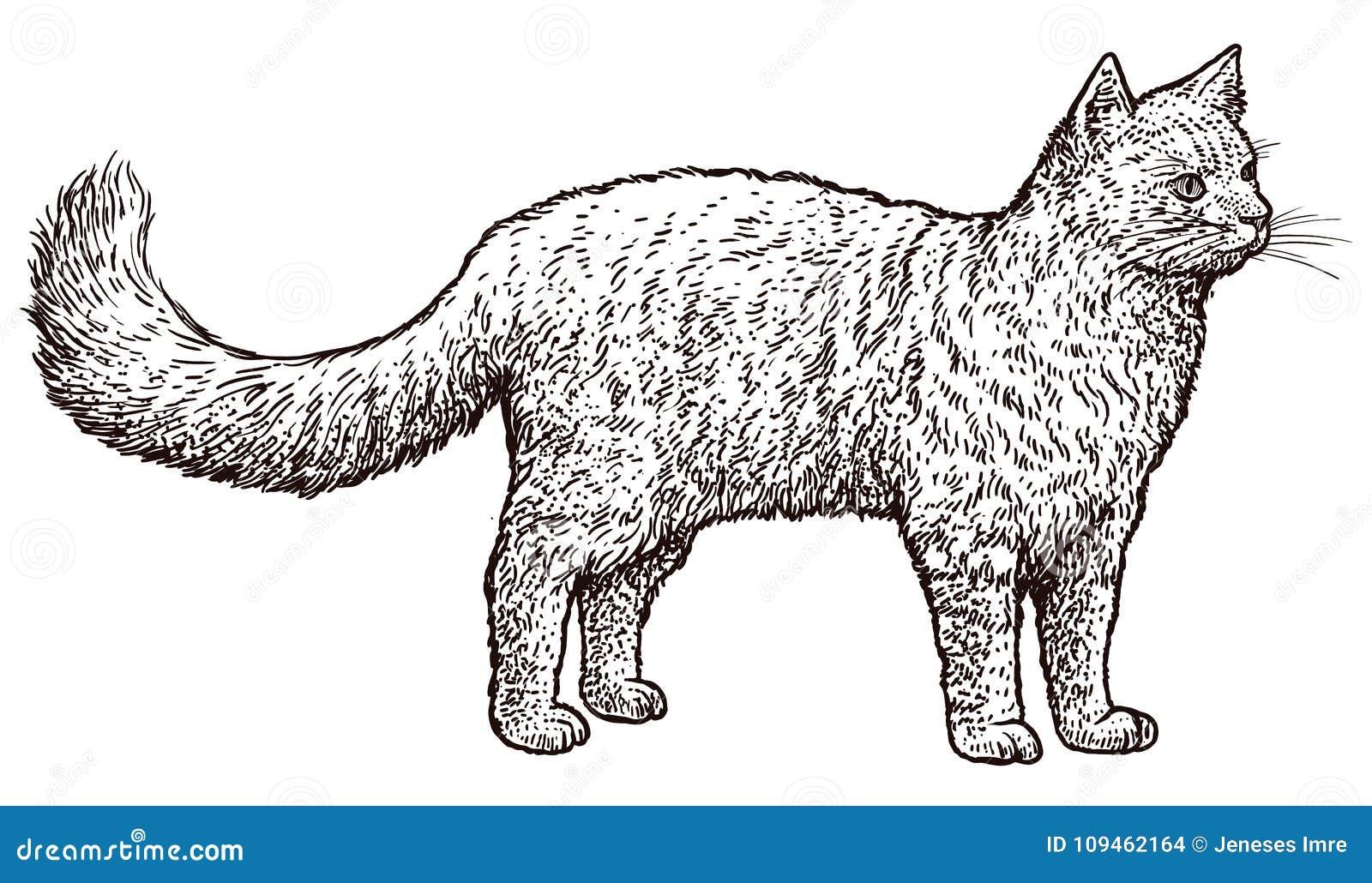 Illustrazione Diritta Del Gatto Disegno Incisione Inchiostro