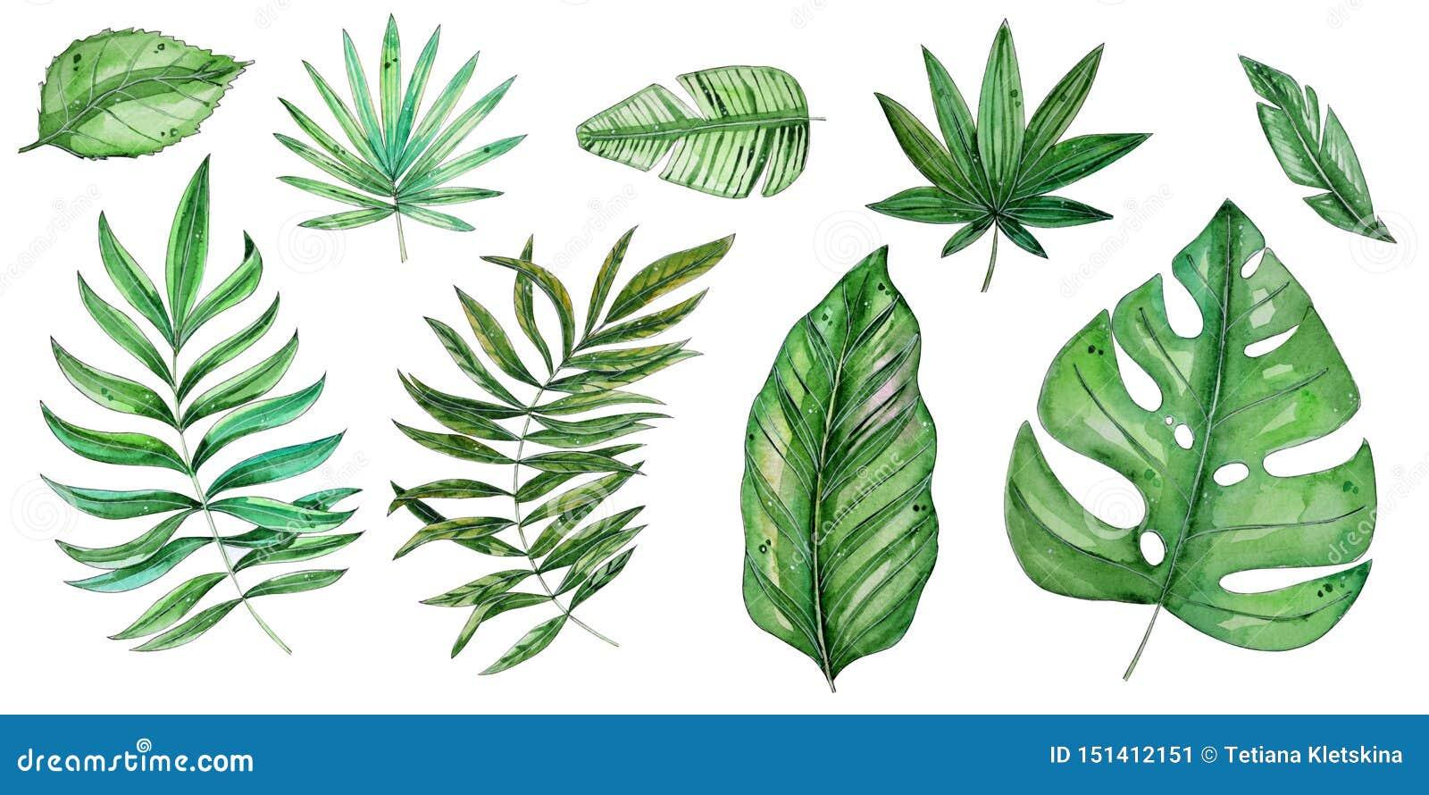 Illustrazione floreale tropicale dell acquerello messa con le foglie verdi